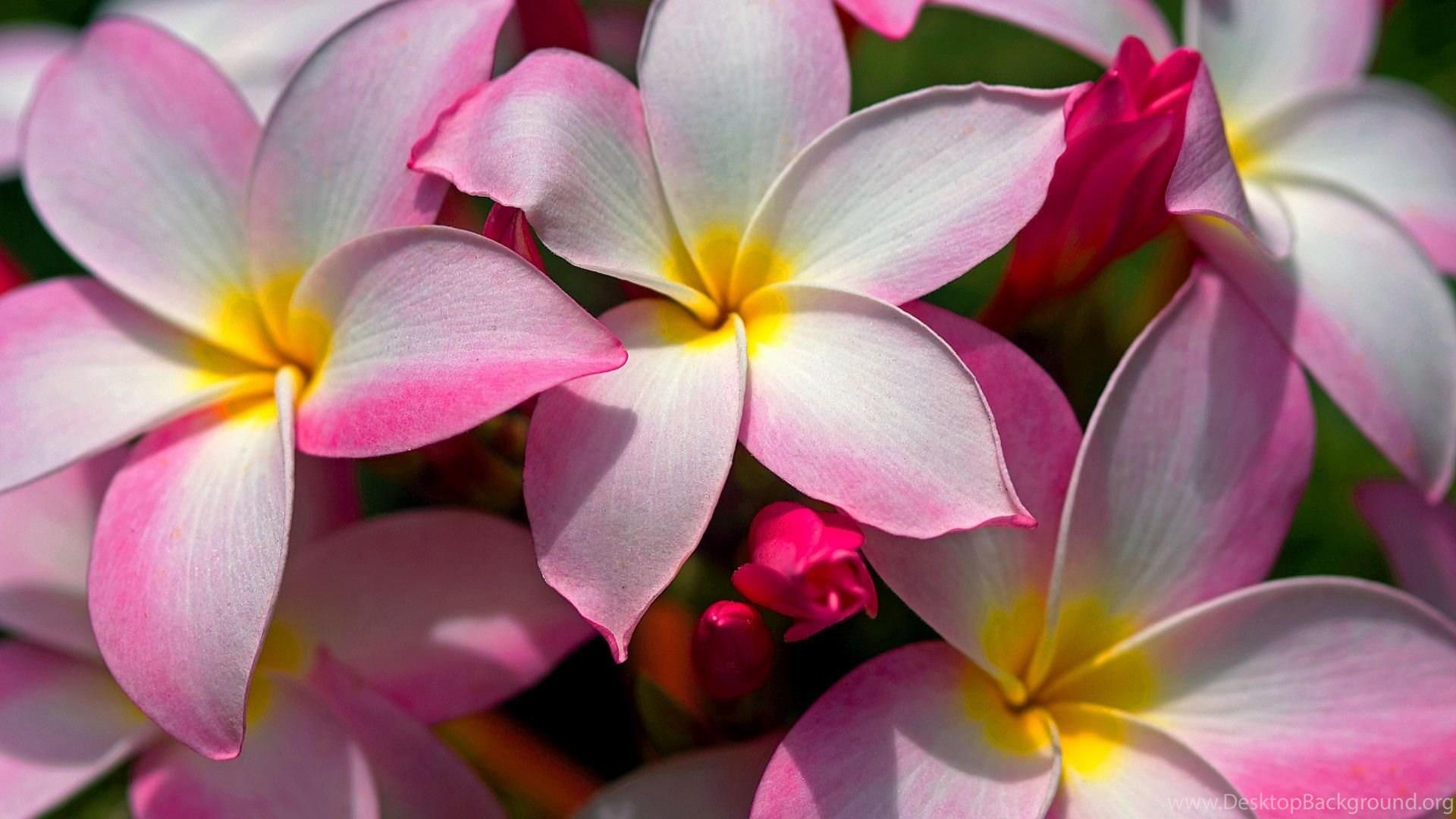 Beautiful hawaiian plumeria flowersg desktop background popular izmirmasajfo