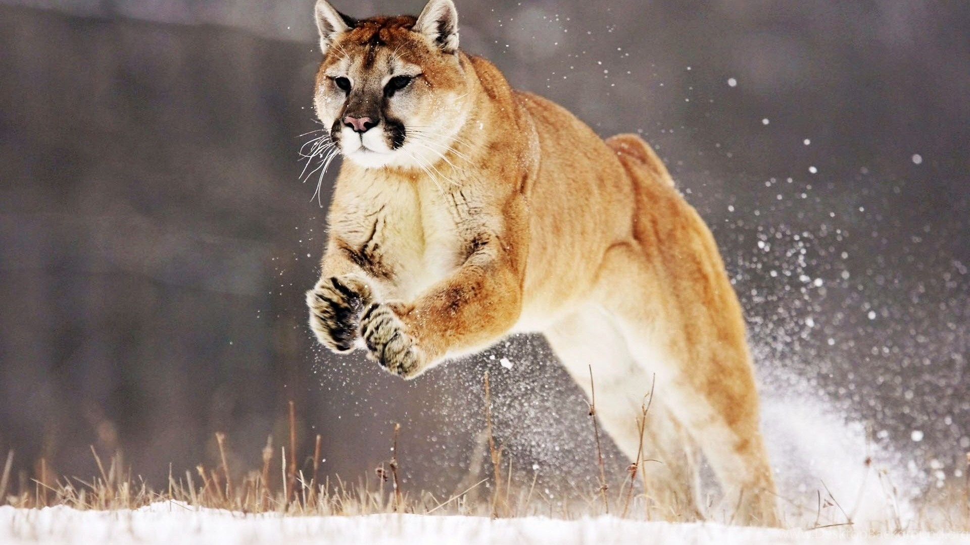 Mountain Lion 4k Or Hd Wallpapers For Your Pc Mac Or Mobile Device