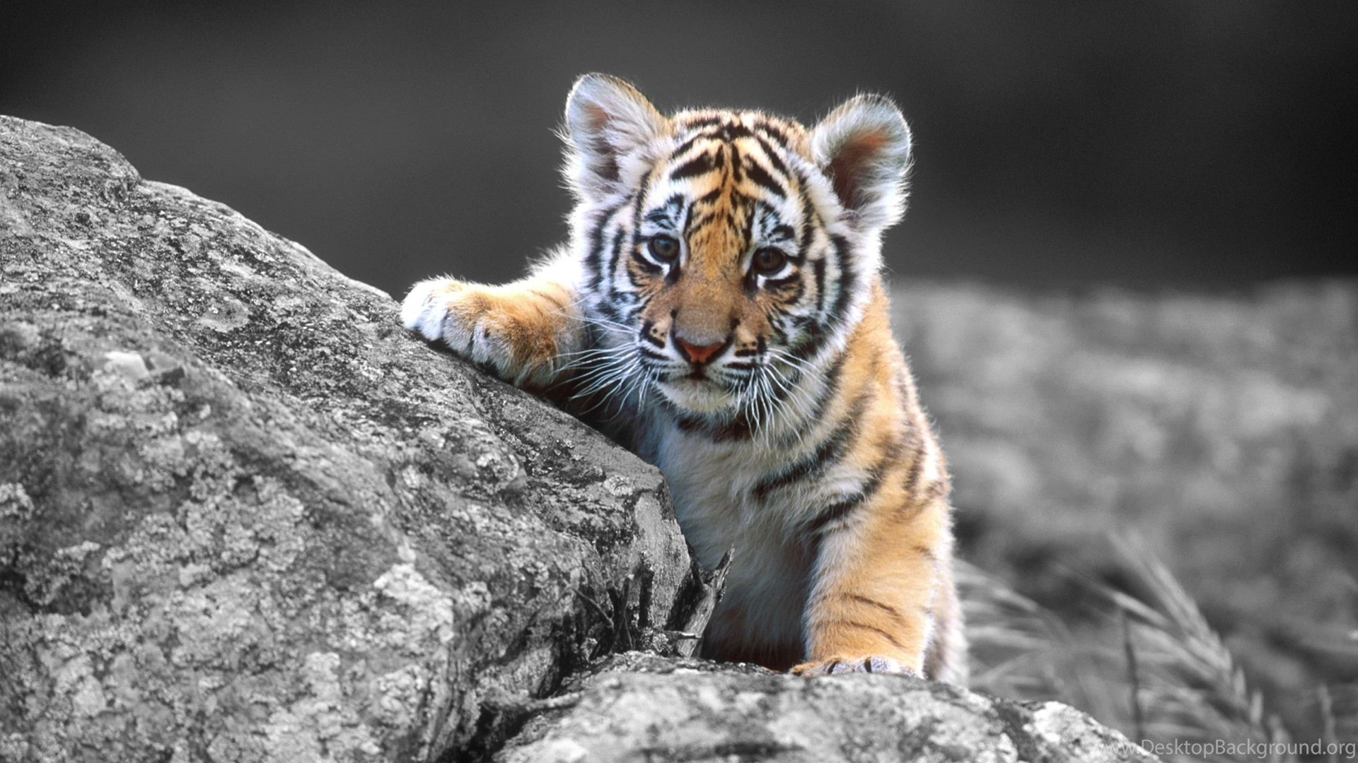 baby tiger wallpapers desktop desktop background