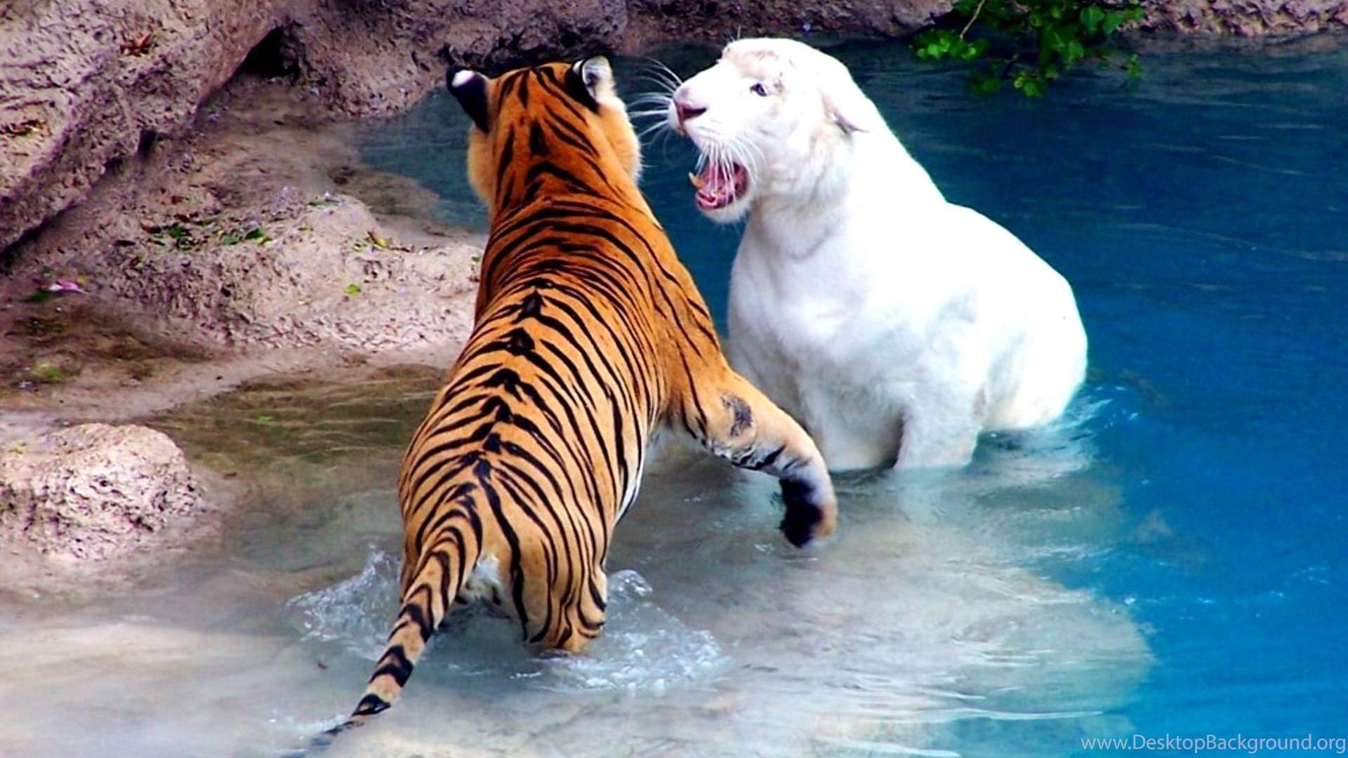 1063 tiger hd wallpapers desktop background