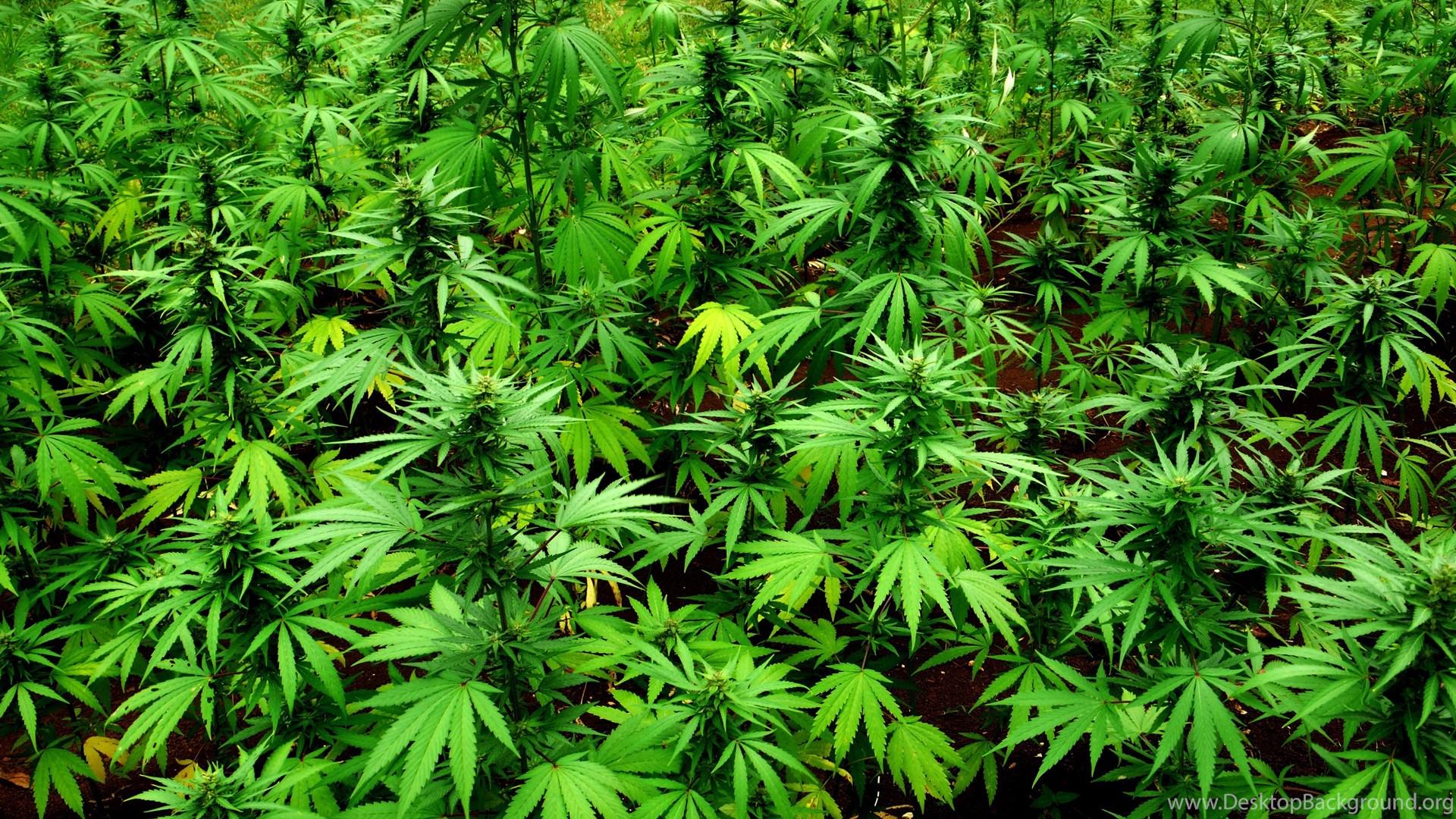 the criminalization of marijuana essay This paper discusses the repercussions of the legalization of marijuana.