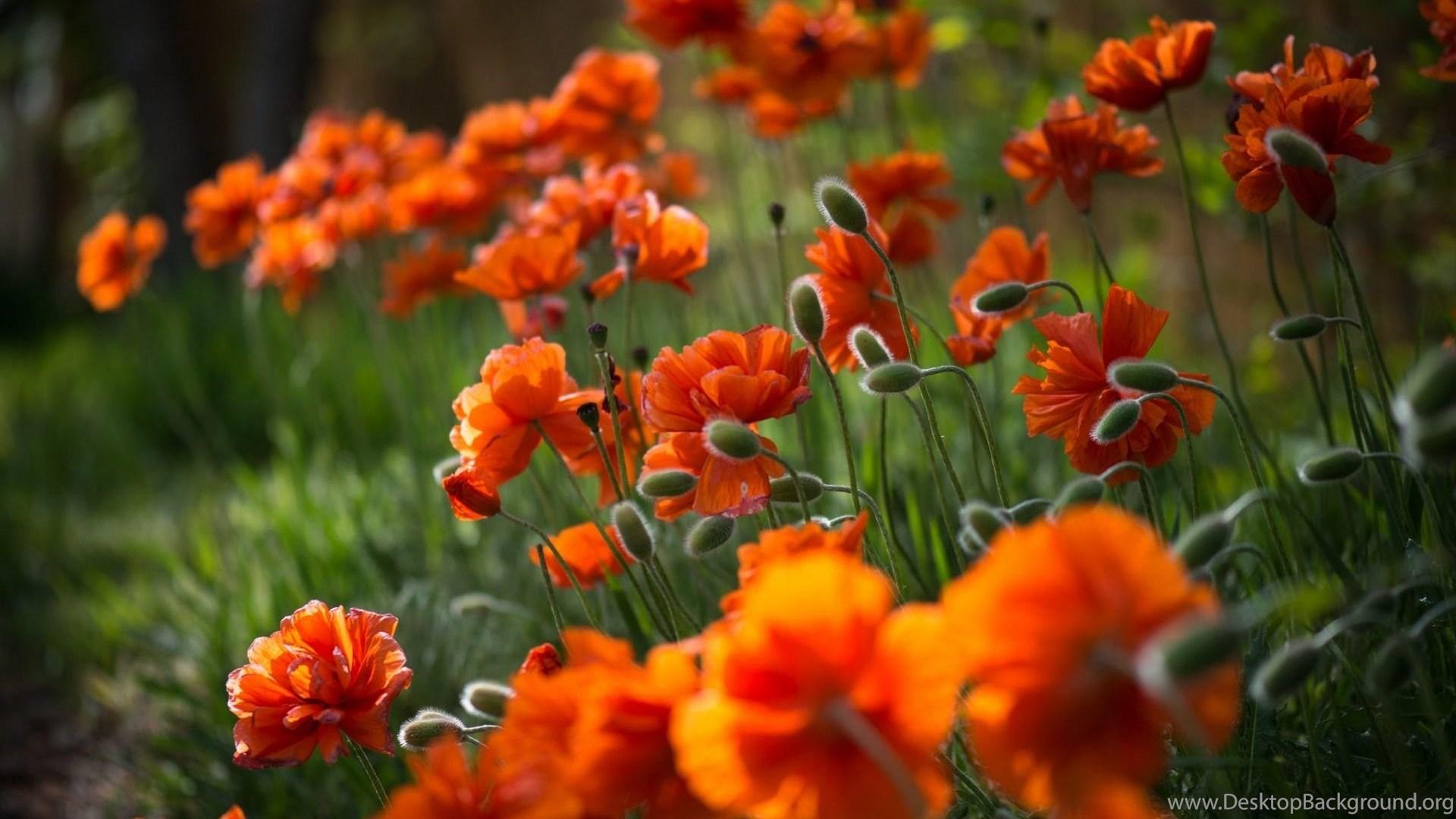 383481 orange flowers wallpapers hd download of beautiful