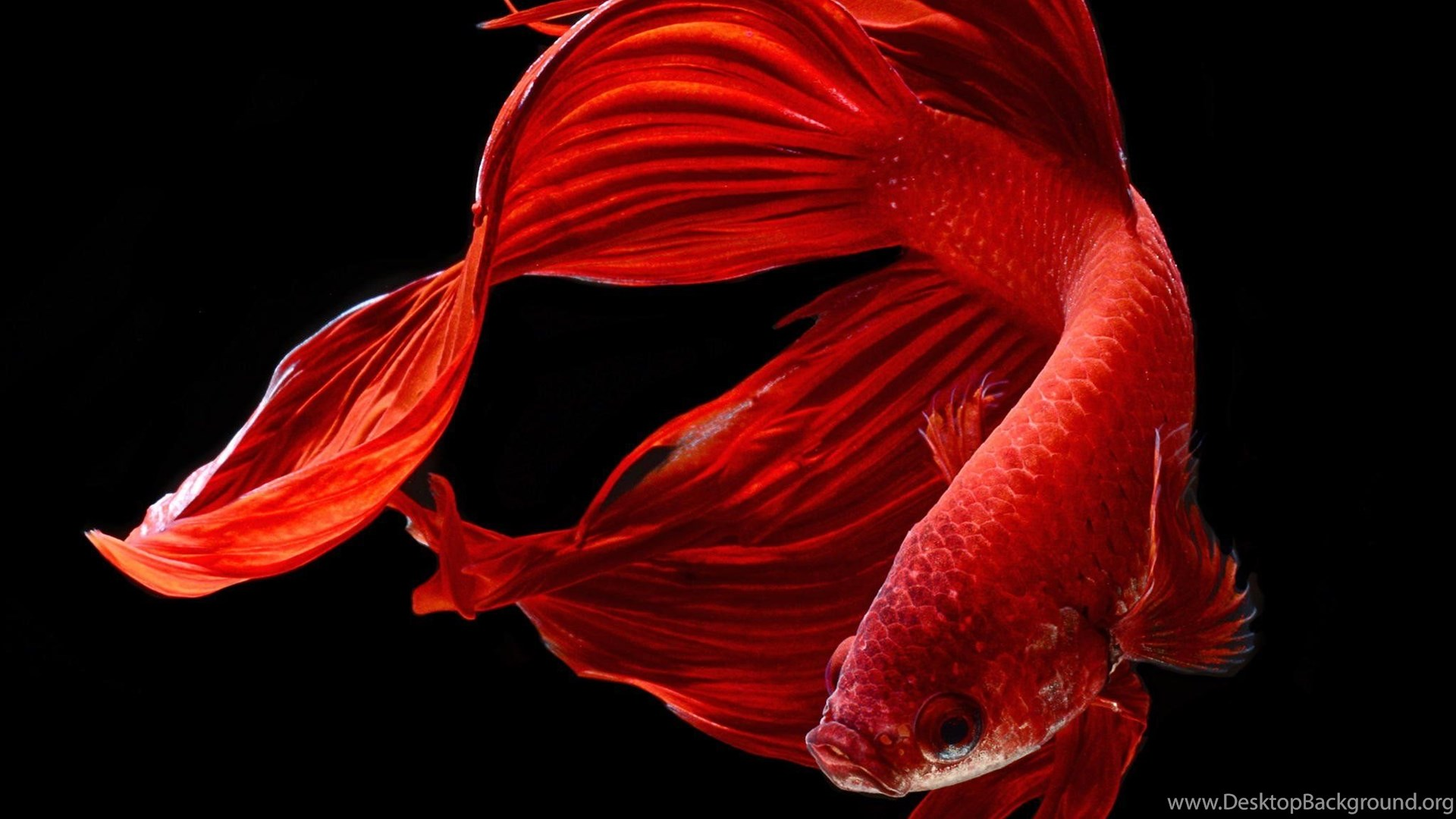 BETTA Siamese Fighting Fish Colorful Tropical Wallpapers ... Desktop ...