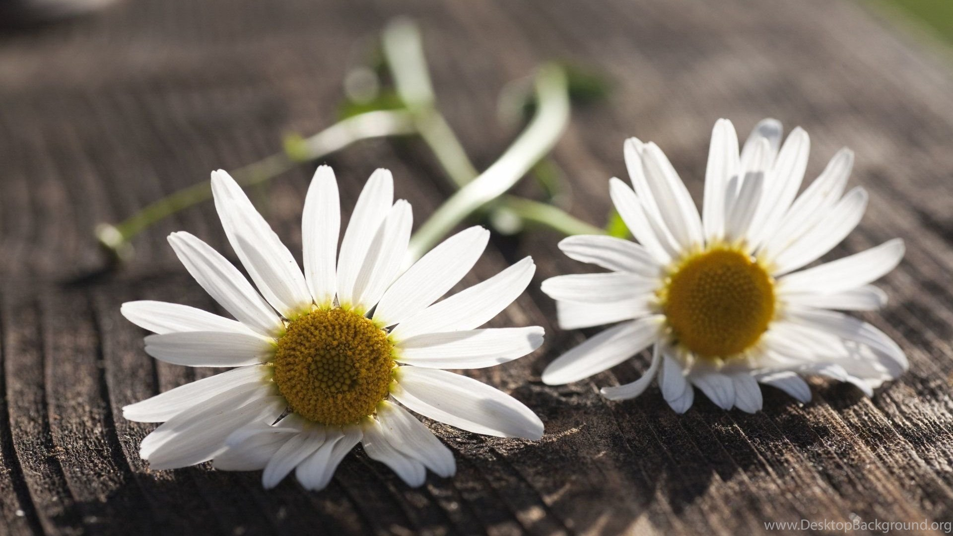 Flower Flowers Daisy Chamomile White Flower Backgrounds Wallpapers