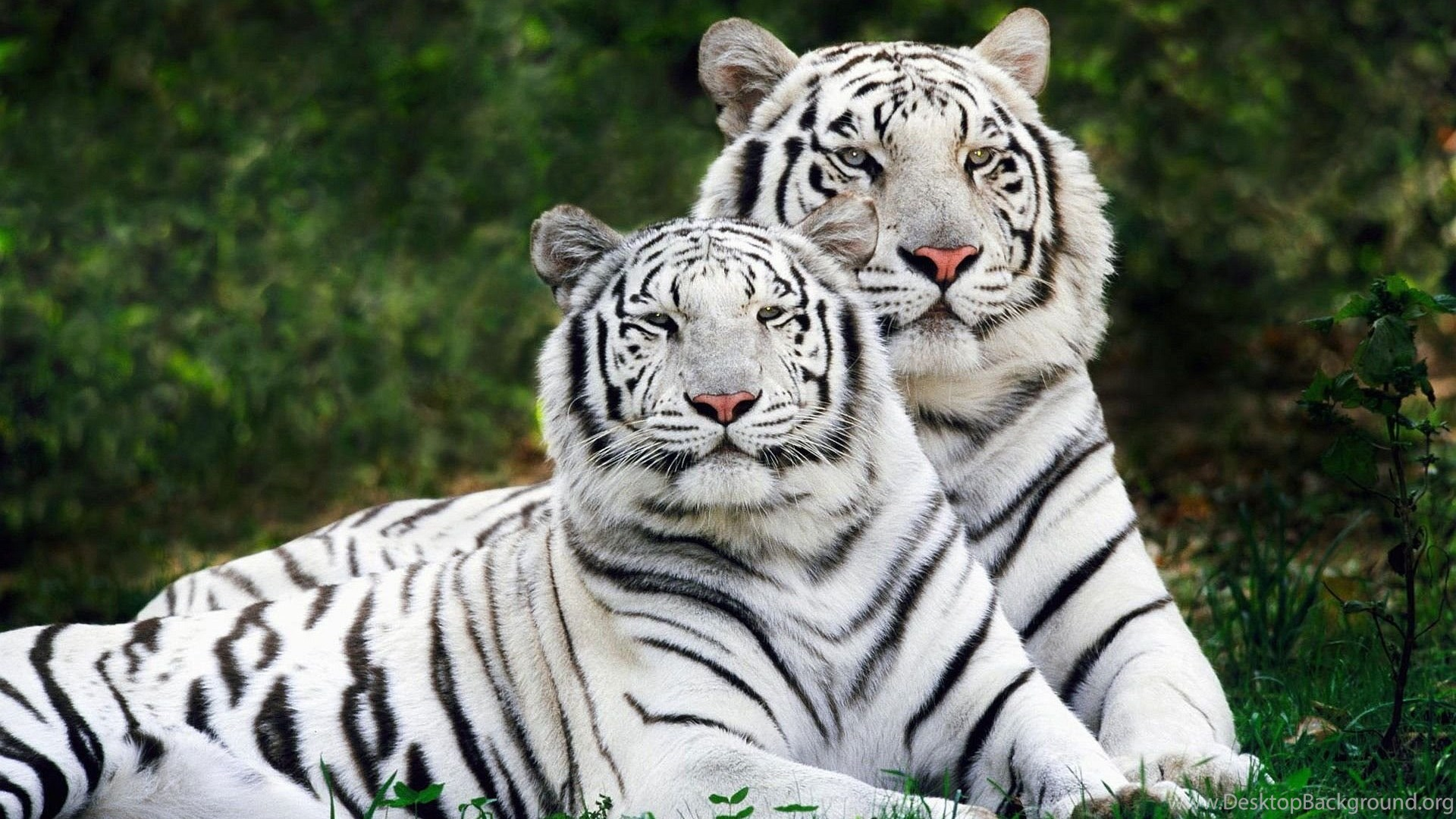 White Tiger Wallpapers Pc 2269 Hd Wallpapers Site Desktop Background