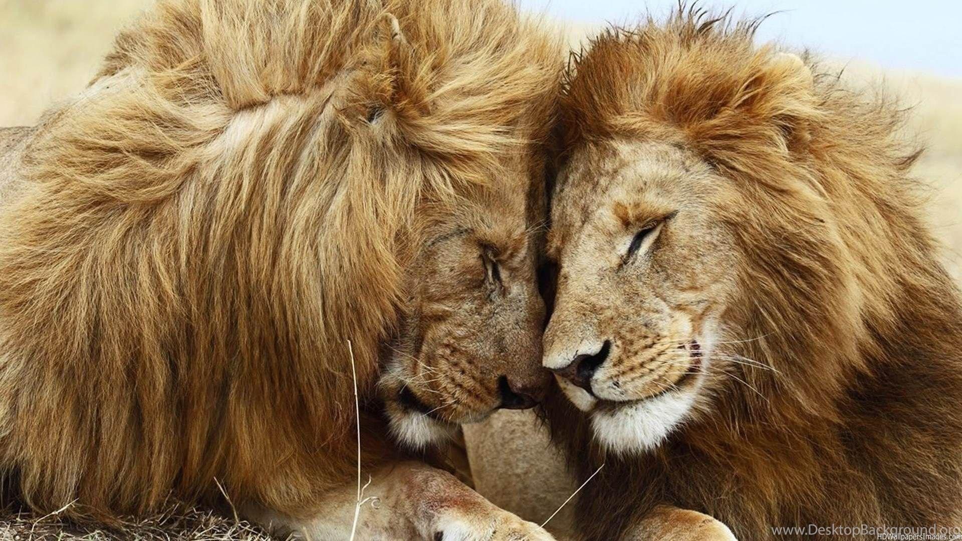 Рисунки, картинки на рабочий стол тигры и львы на весь экран