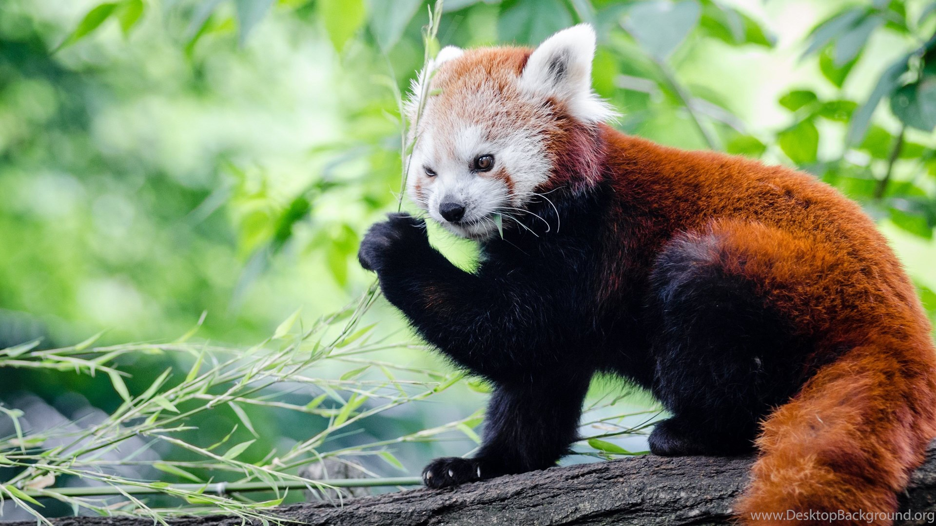 Red Panda Wallpapers HD Desktop Background