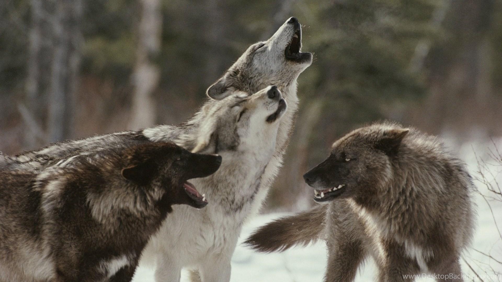 Animals Wolves Wolf Trees Forest Wildlife Predator Winter Snow ...