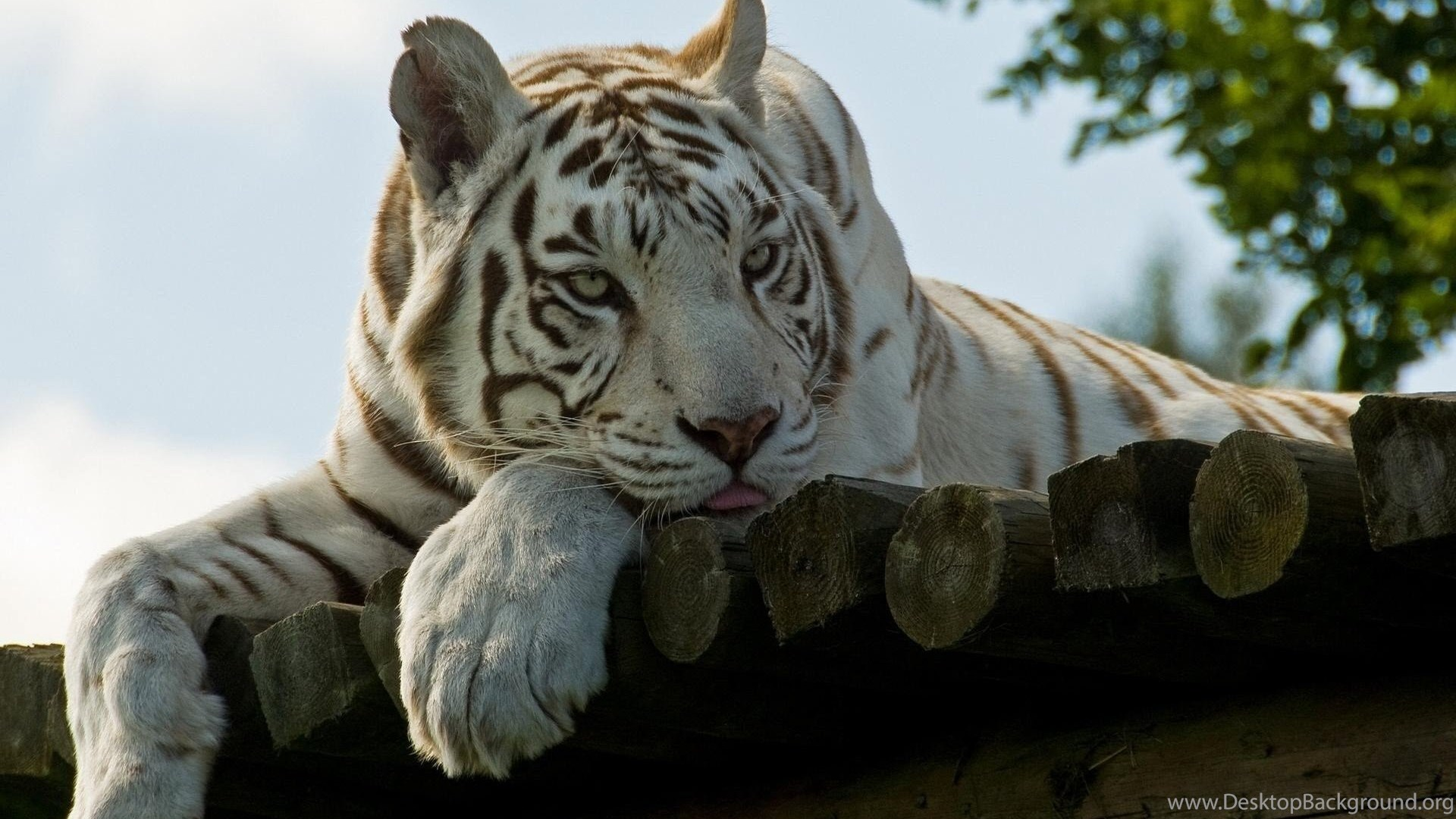 591919 desktop white tiger background pics wallpapers 3d hd