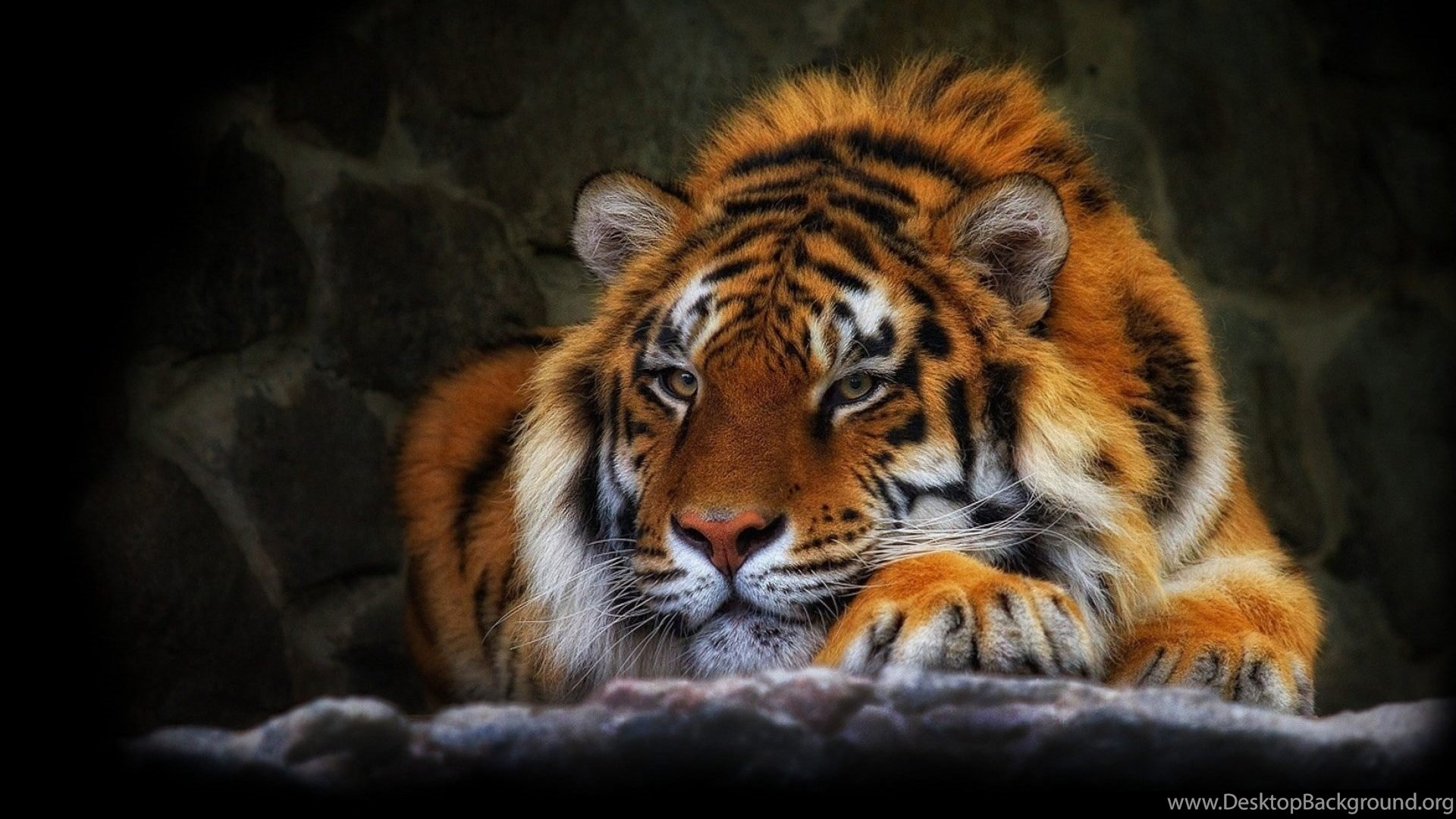 Wild Cat Tiger Wallpapers Hd Free Download Desktop Background