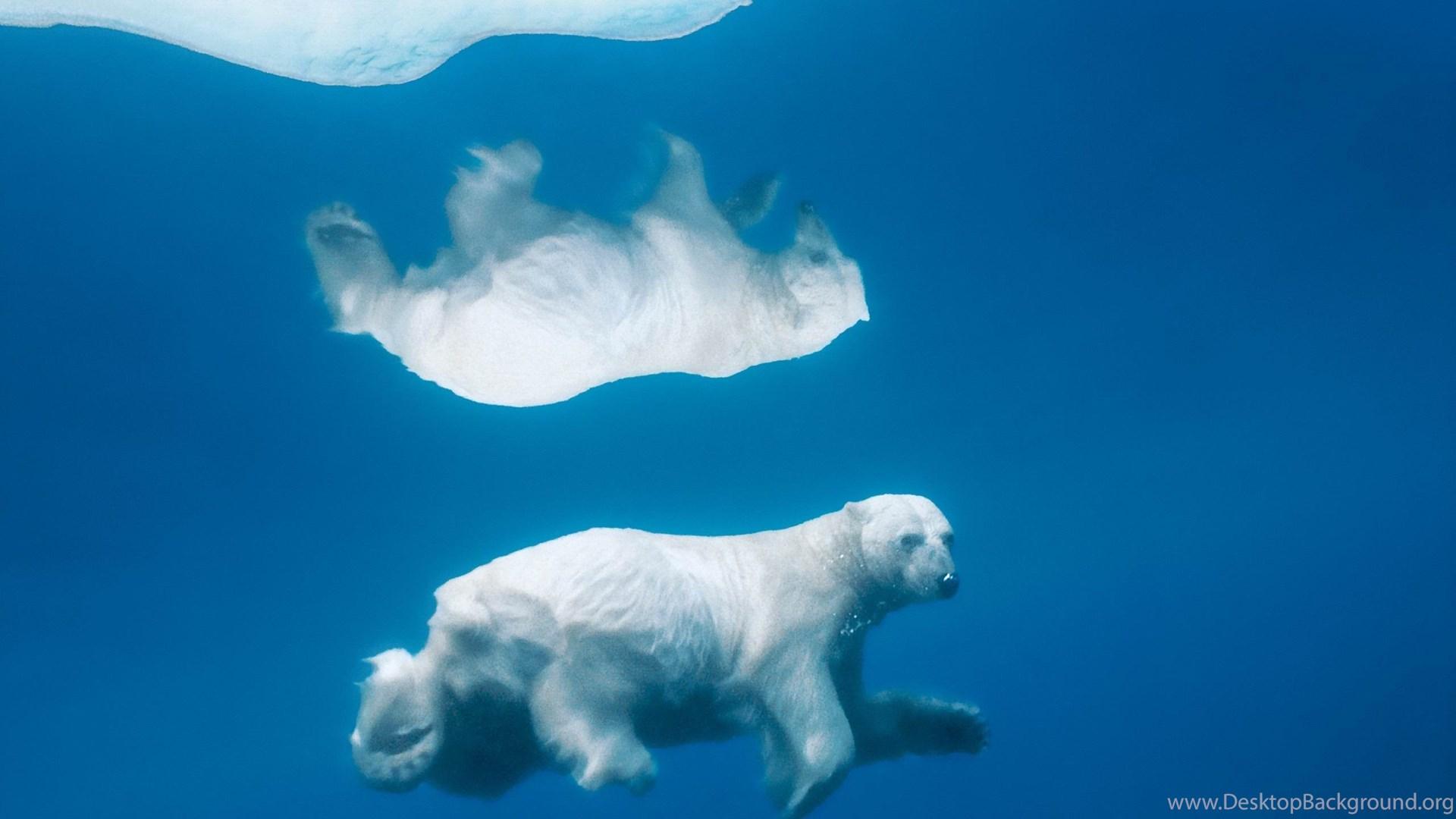 The Polar Bear Under The Ice Mac Os X Mountain Lion Hd Wallpapers