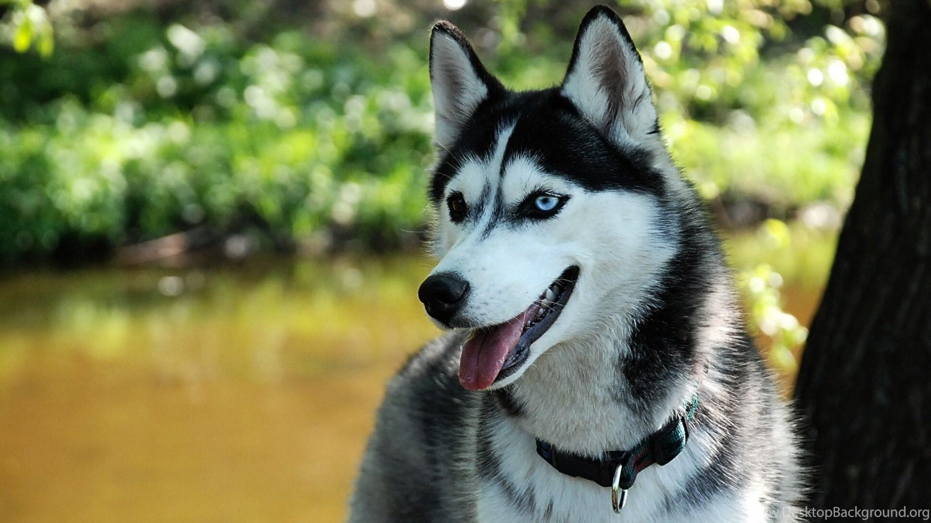 Siberian Husky Dogs Wallpapers 2356 1920x1200 Umad Com Desktop