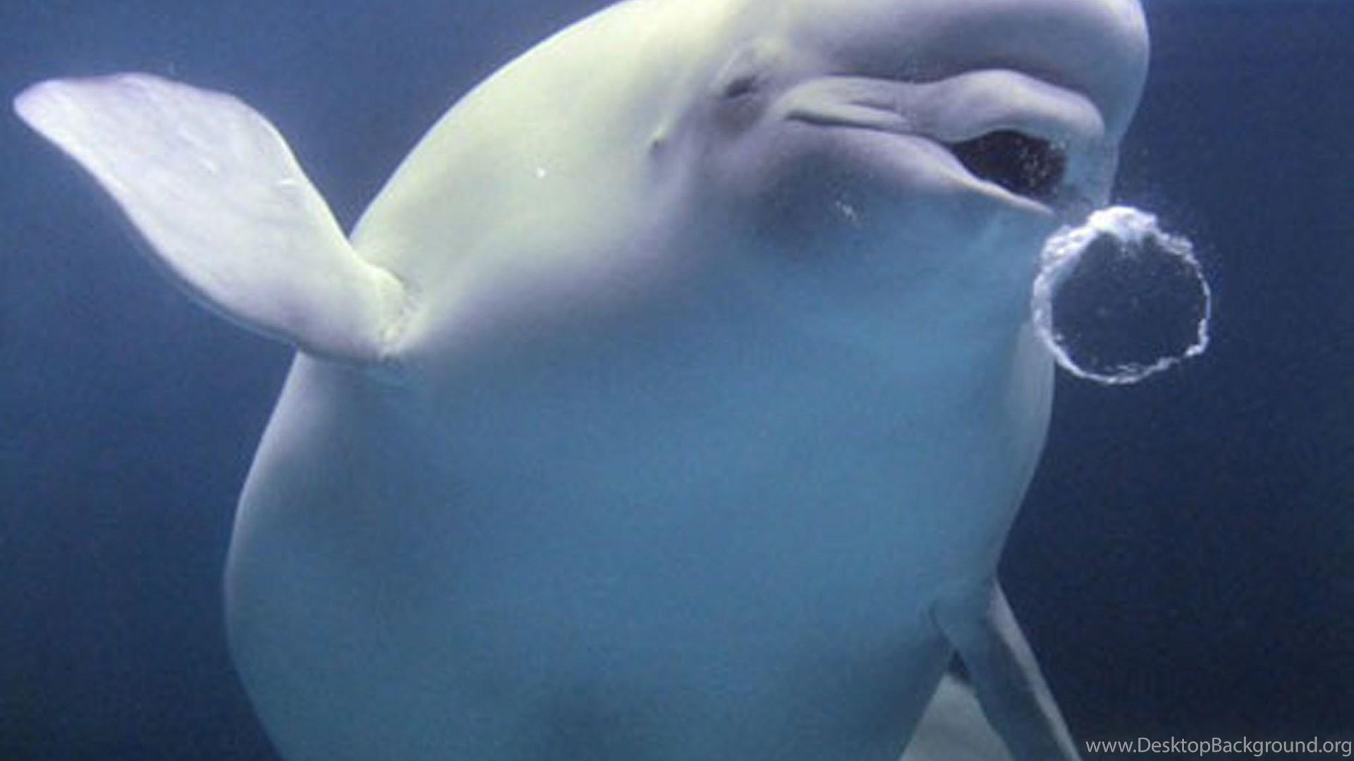 Killer Cat Parasite Spreads To Arctic Toxoplasma Found In Beluga