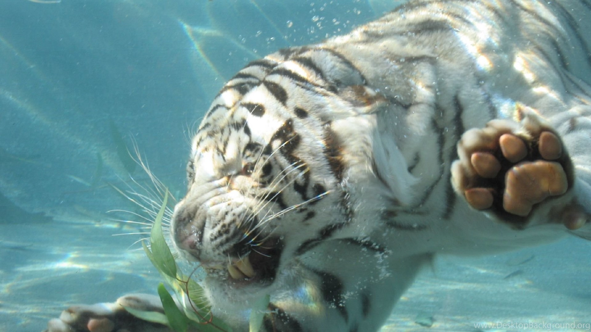 703191 image of a white tiger wallpapers 3d hd