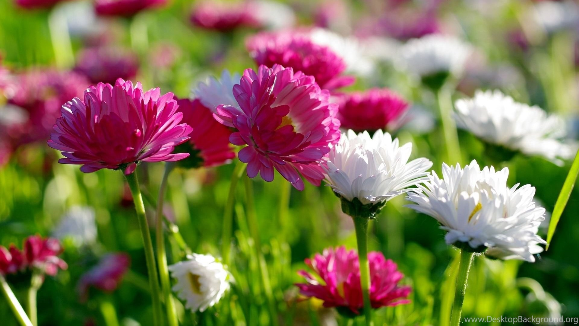 Awesome Spring Flowers Hd Wallpapers Free Download Desktop Background