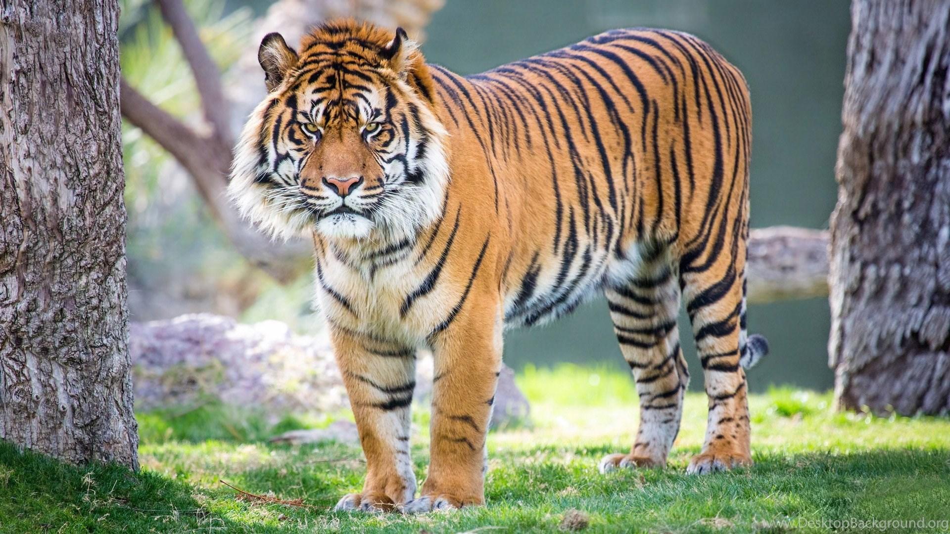 tiger free download hd wallpapers desktop background
