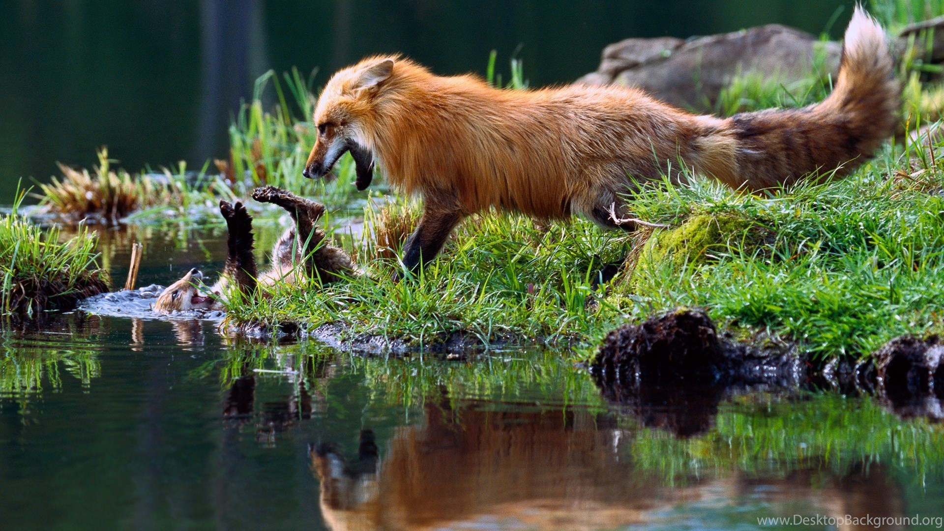 Nature Water Reflection Animals Fox Baby Animals Playing Desktop Background