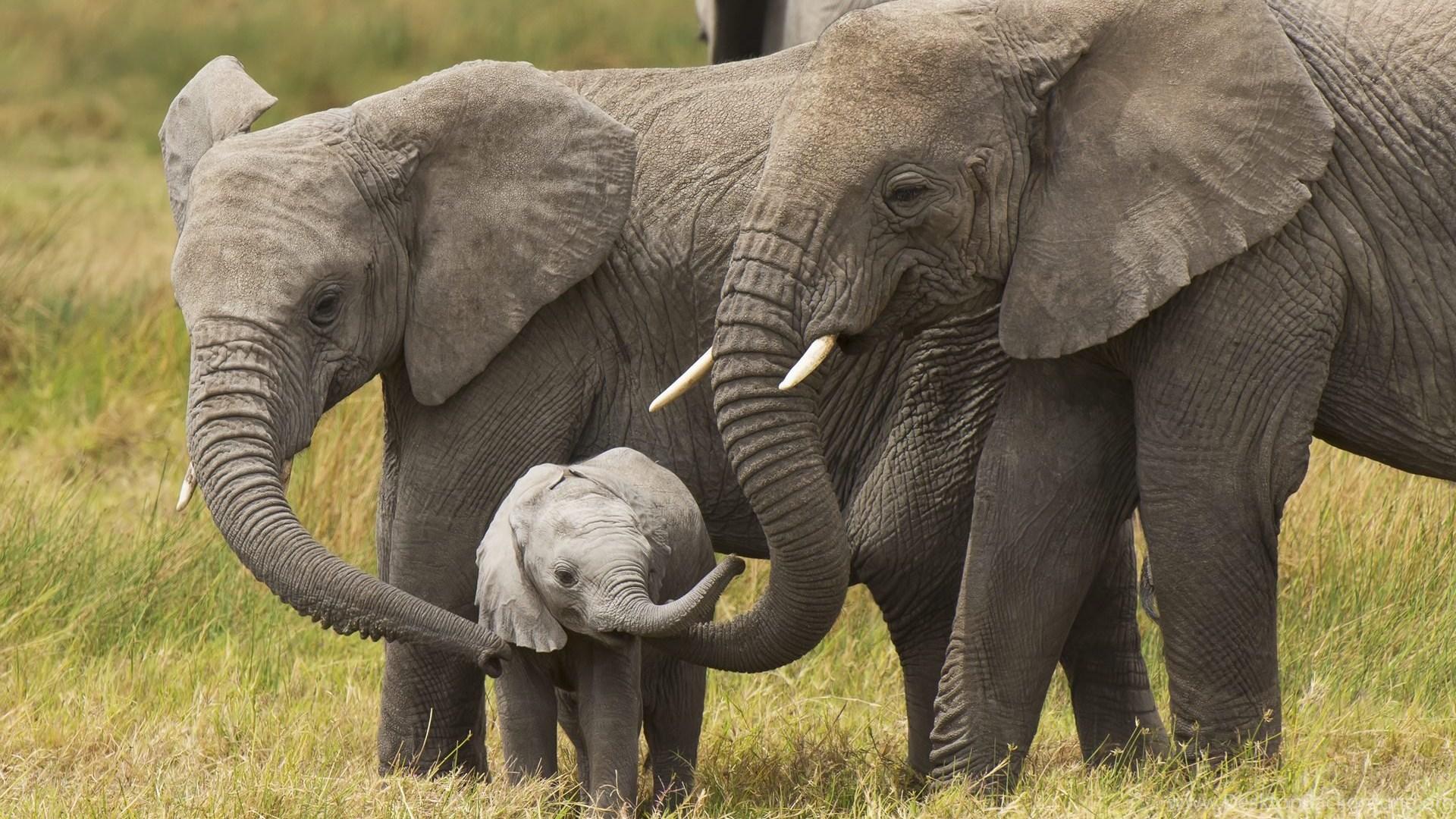 Elephants With Cute Little Baby Elephant HD Wallpapers ...