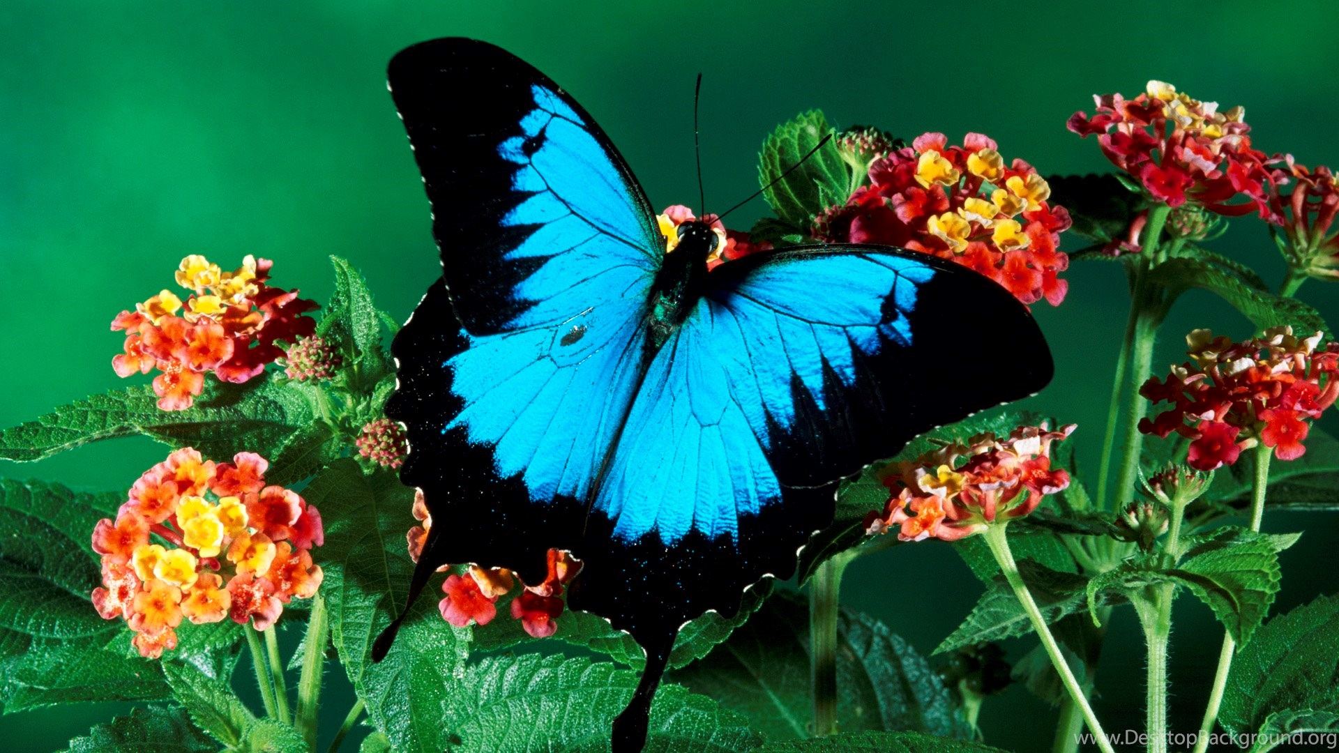 Amazing Beautiful Colorful Butterfly Full Hd Wallpapers 1920 1080