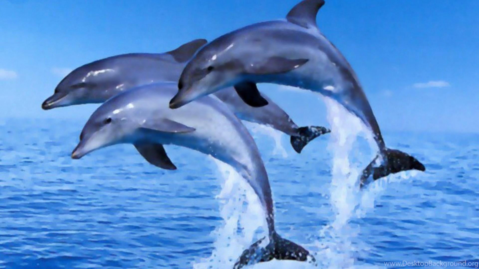 dolphins jumping clipart wallpaper desktop background