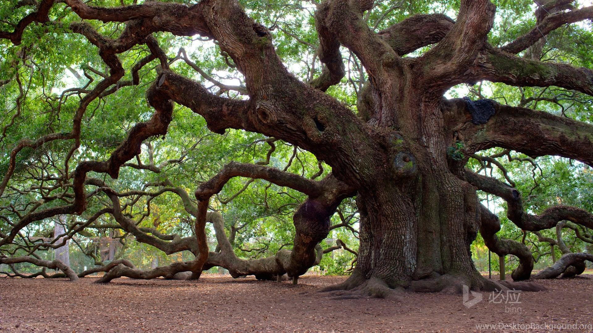 Angel Oak Tree Charleston South Carolina Desktop Background