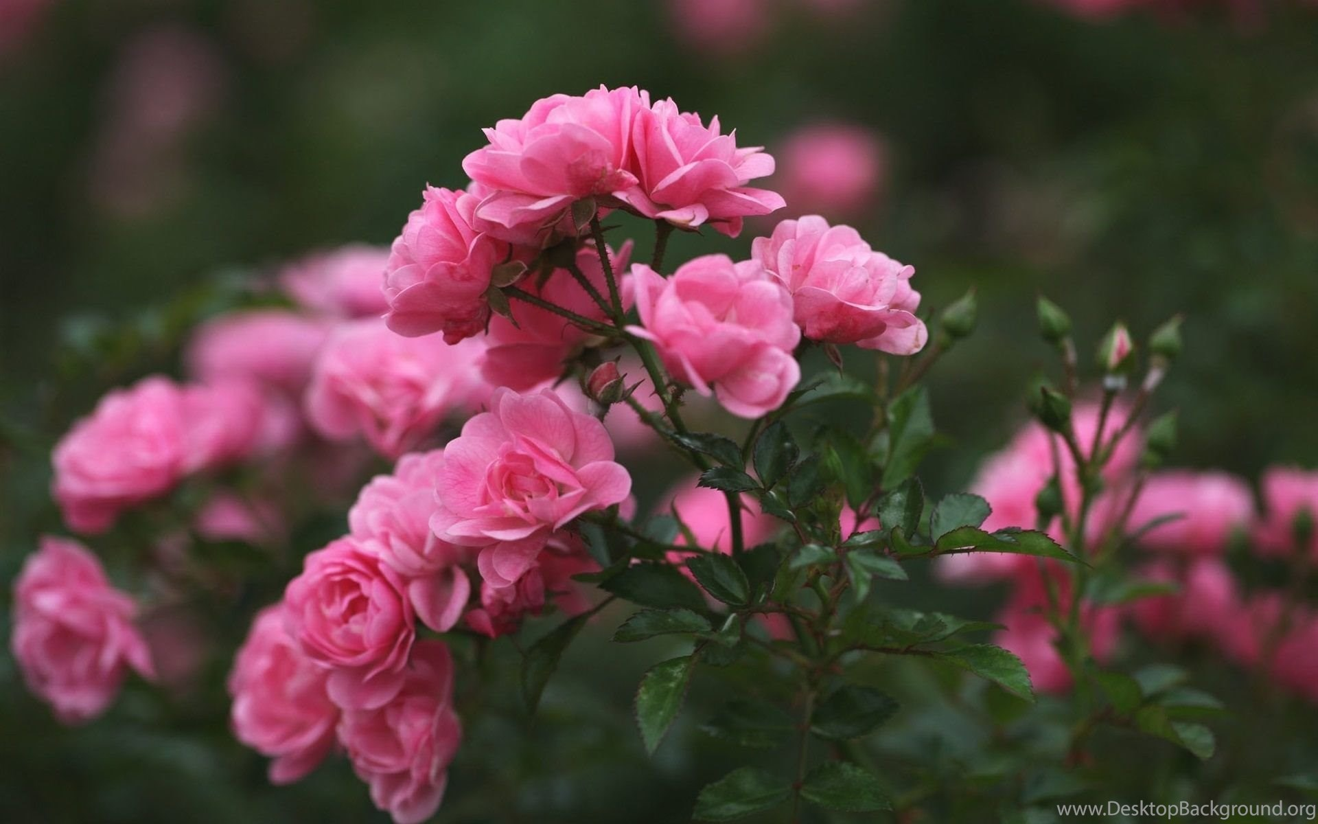 Roses pink flowers wallpapers free download of pink roses desktop widescreen mightylinksfo