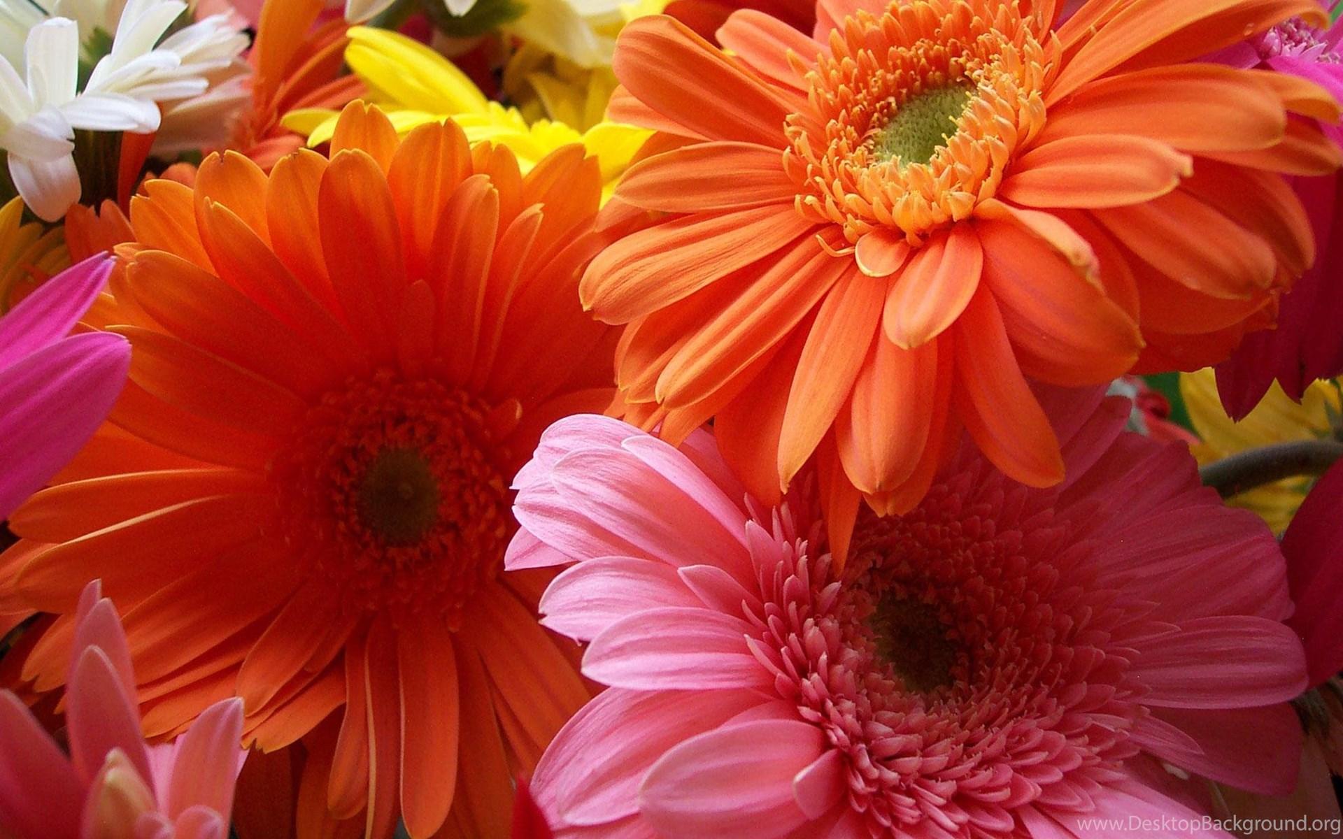 Top Colorful Gerbera Daisy Wallpaper Images For Pinterest Desktop