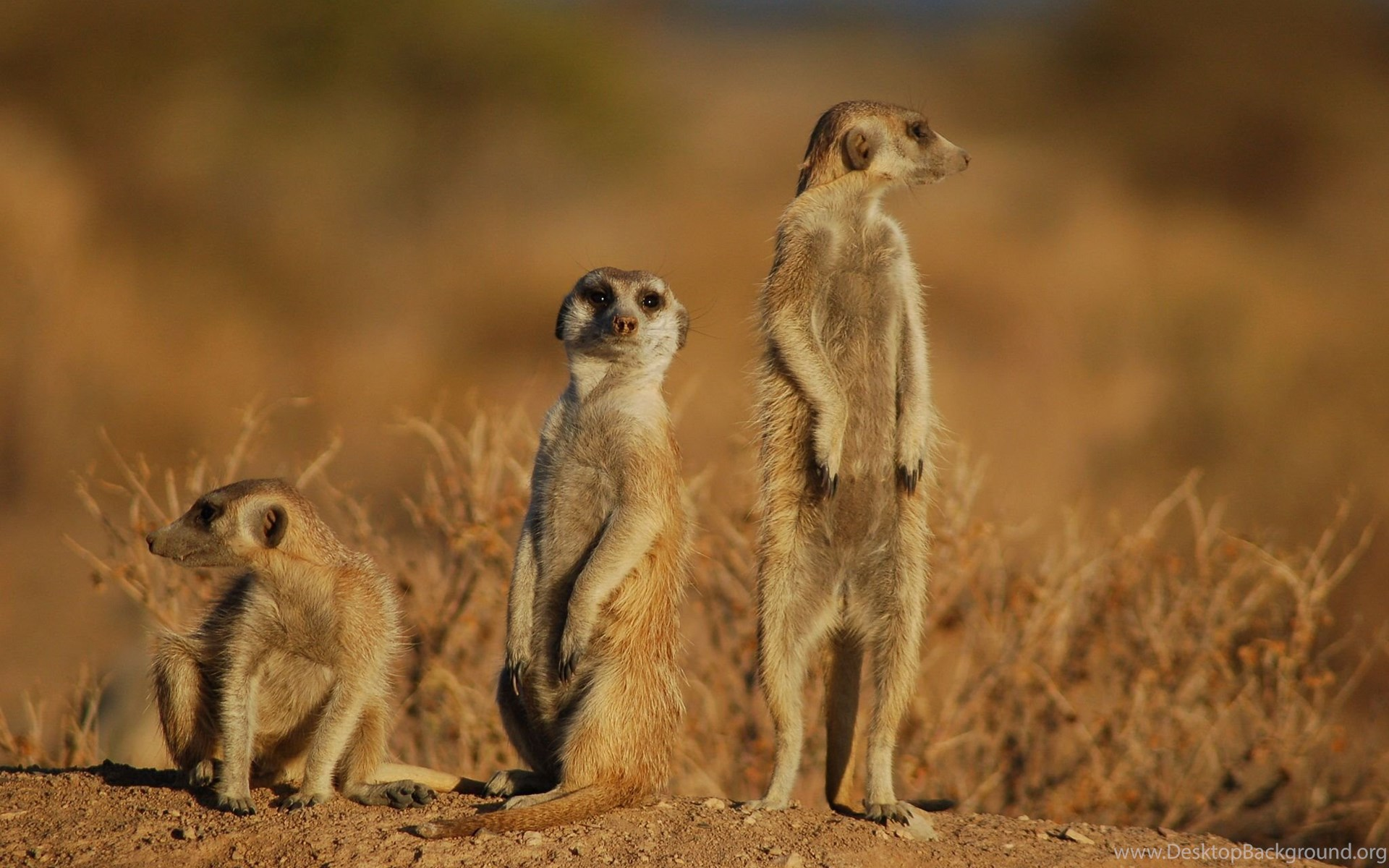 Meerkat 1920x1080p HD Animal Wildlife Nature Wallpapers Desktop