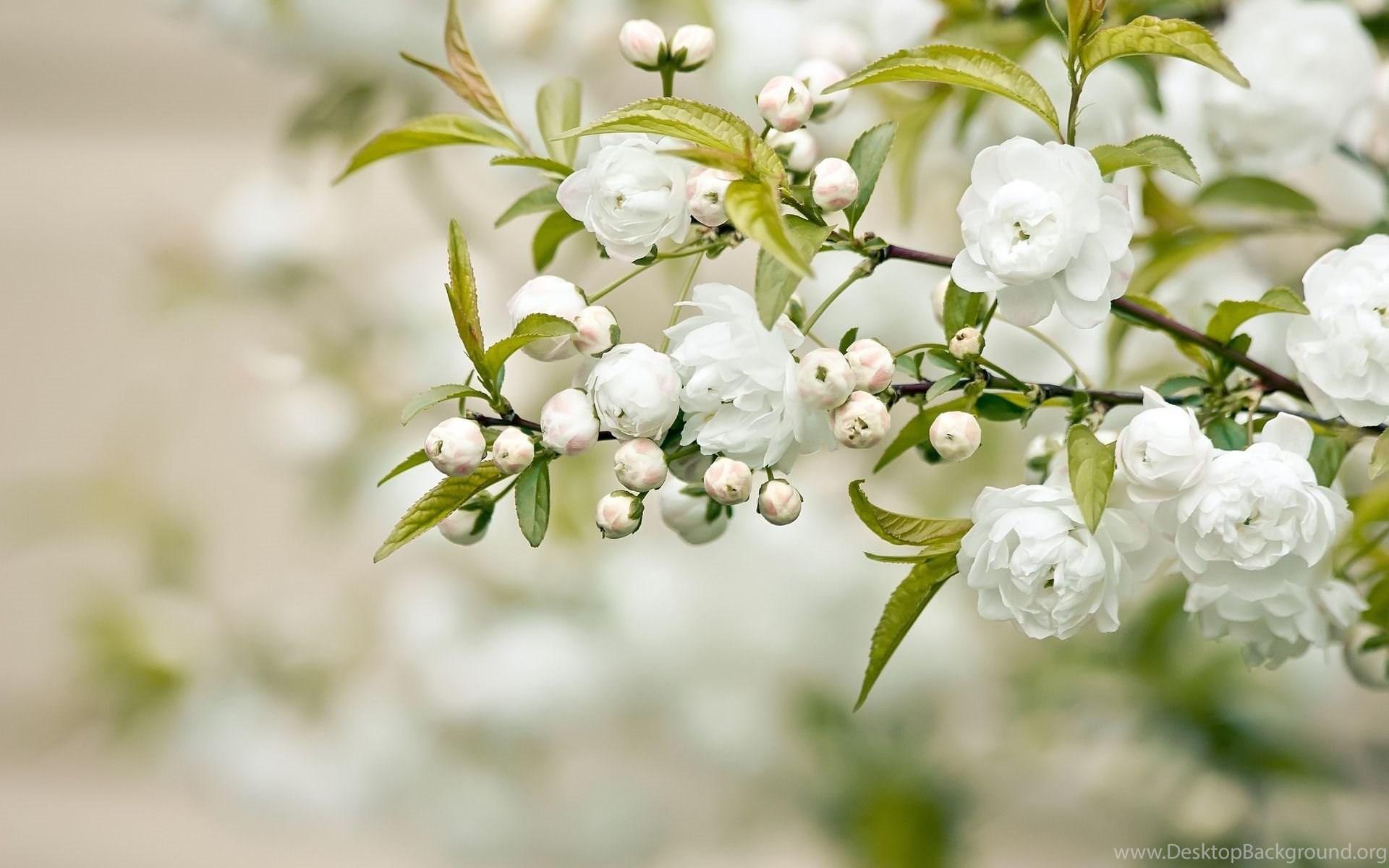 Jasmine flower wallpapers desktop background widescreen izmirmasajfo