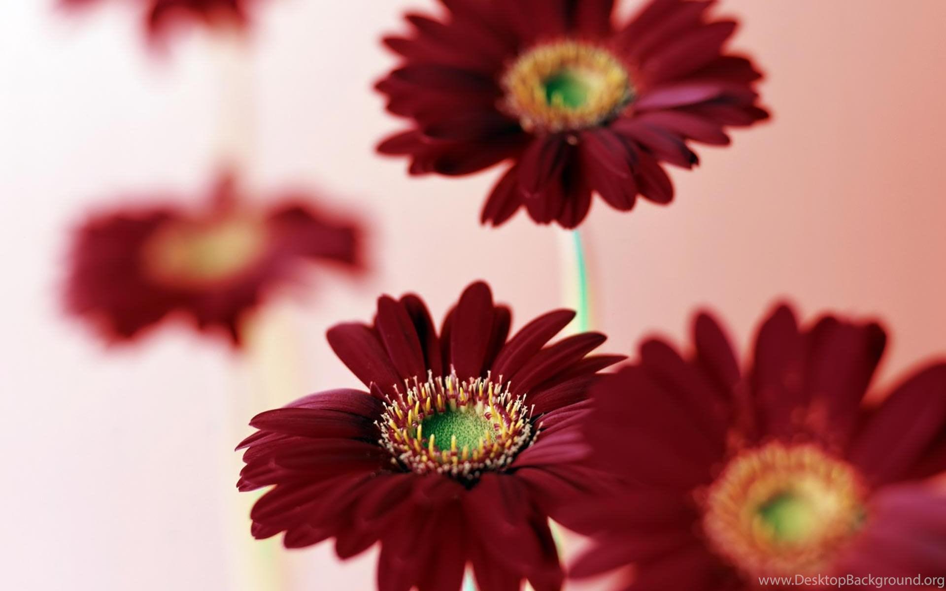Pink Daisies Flowers In Hd Id 1380 7hdwallpapers Desktop Background