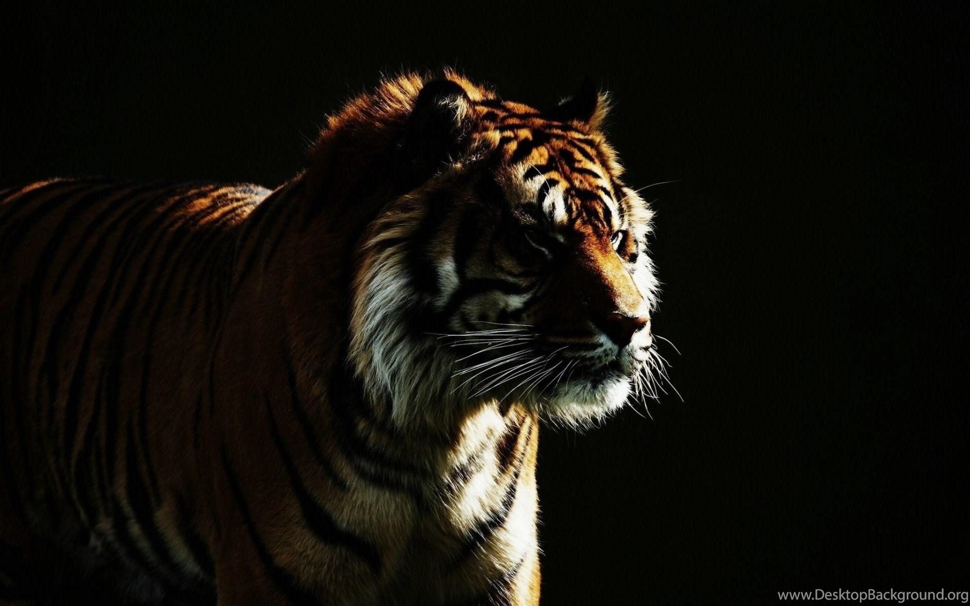 Wild Cat Dark Backgrounds Tiger Hd Wallpapers Desktop Background