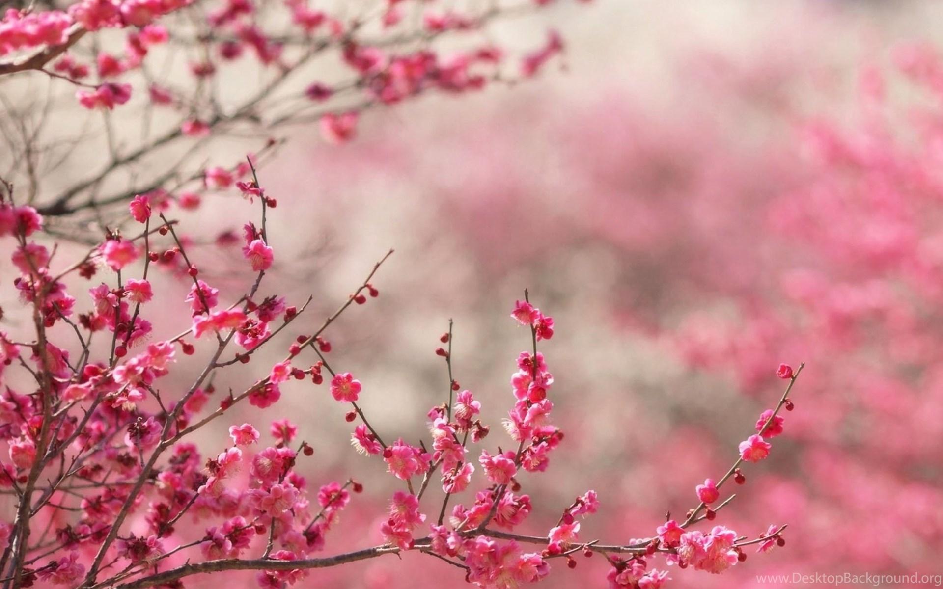 japanese cherry blossom wallpapers desktop background. Black Bedroom Furniture Sets. Home Design Ideas