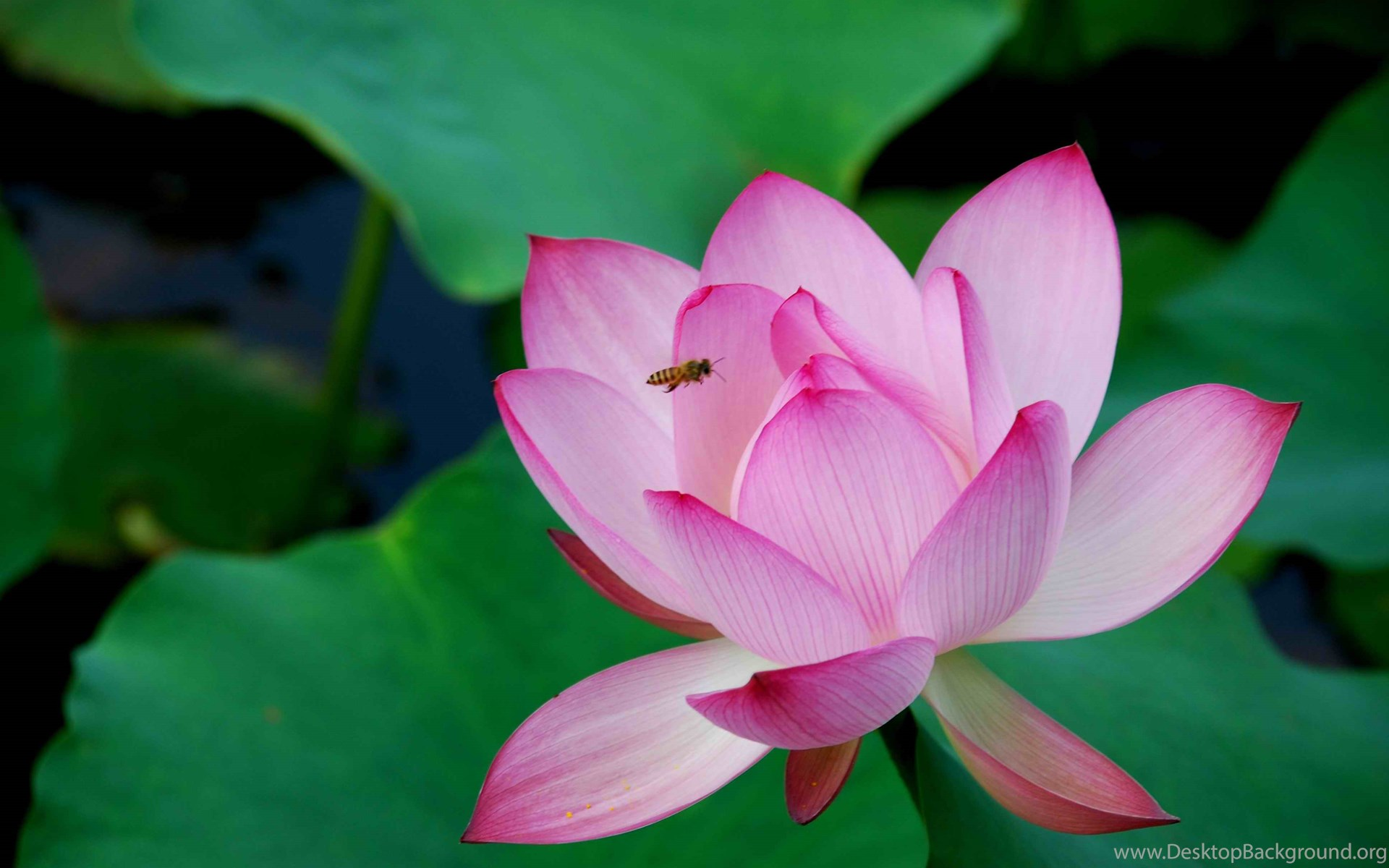 Pink Lotus Flower Wallpapers 15 Lotus Flower Pictures Images