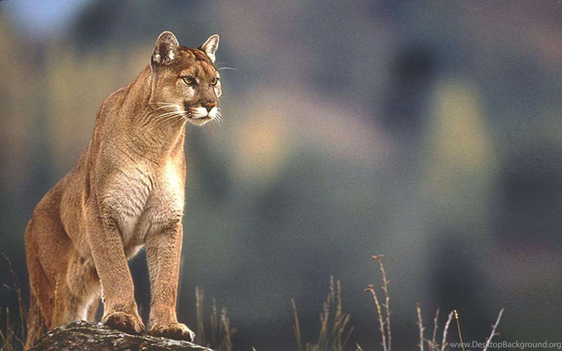 cougar beauvais
