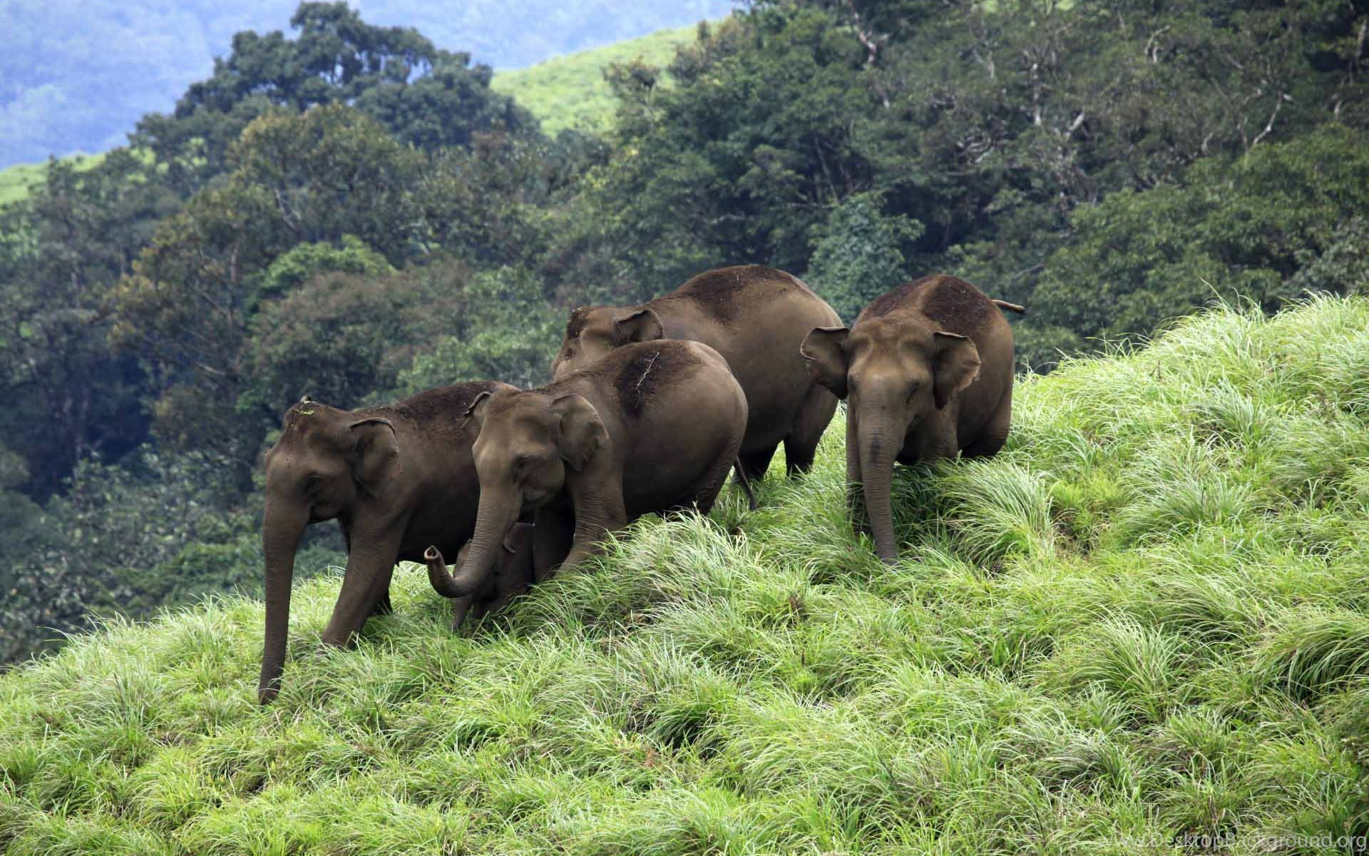 Kerala Elephant Wallpaper Hd Elephants From K...