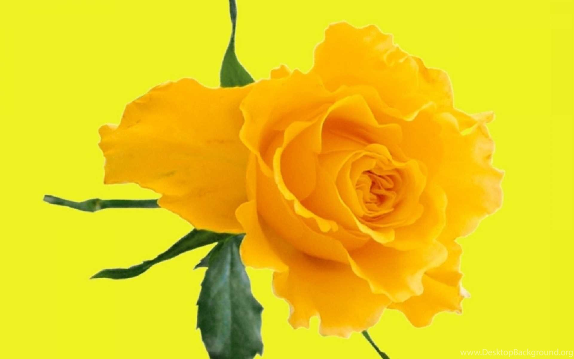 Yellow rose flowers wallpapers 4 hd wallpapers download for widescreen mightylinksfo