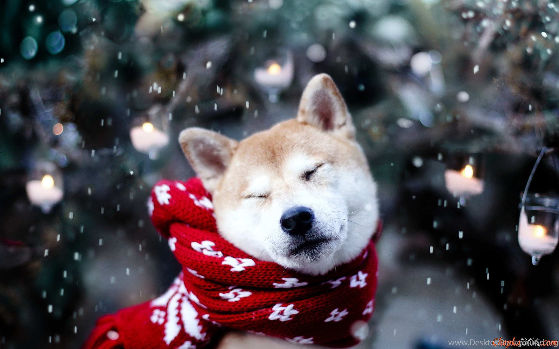 Dog Shiba Inu Wallpaper Dog Hd Wallpaper Shiba Inu Hd Wallpapers Desktop Background