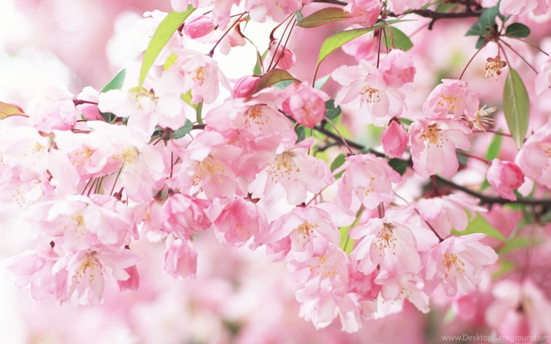 Flower Wallpaper White And Pink Flower Wallpapers Hd Quality