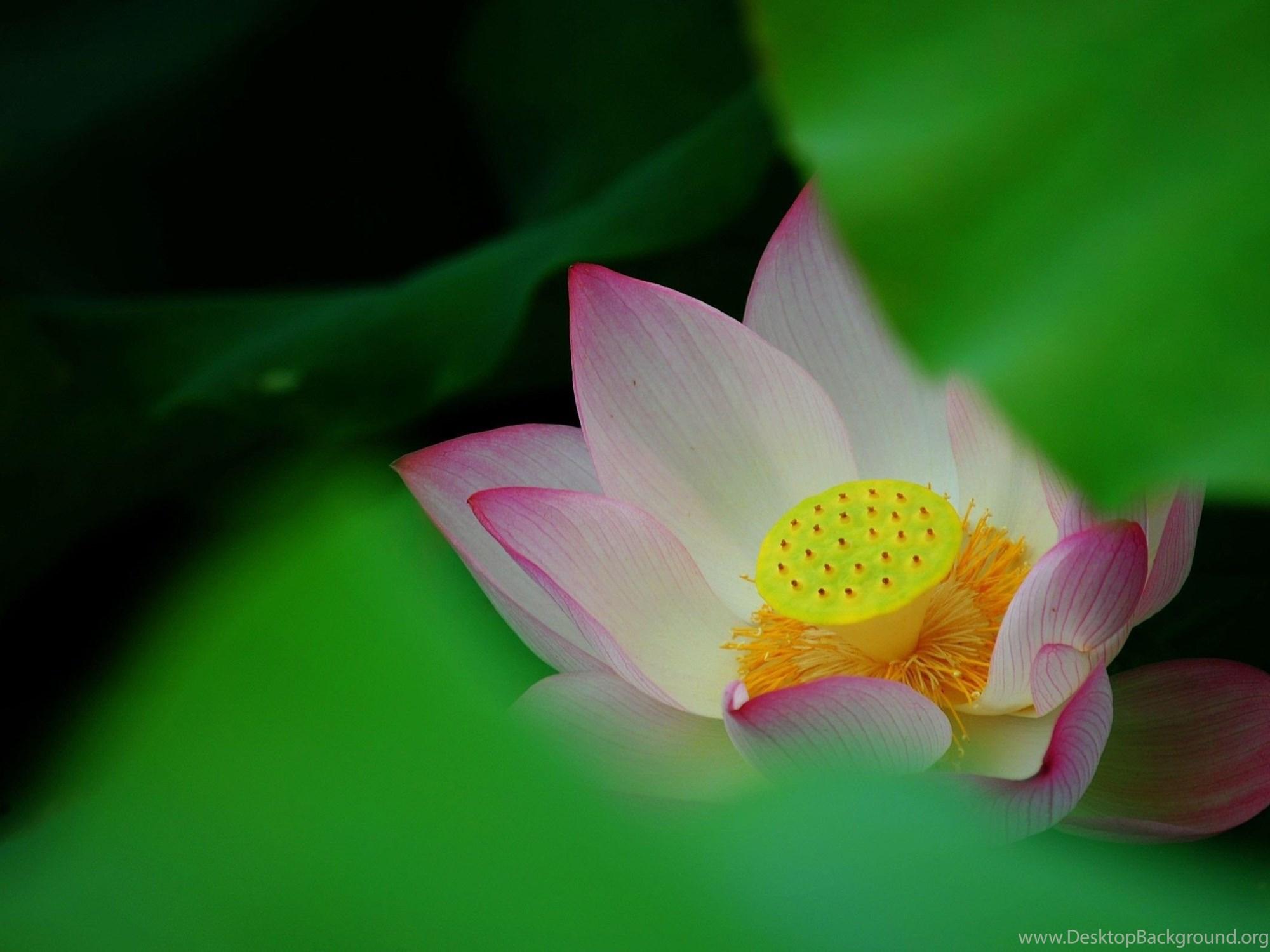 Lotus Flower Desktop Wallpapers Toptenpack Desktop Background
