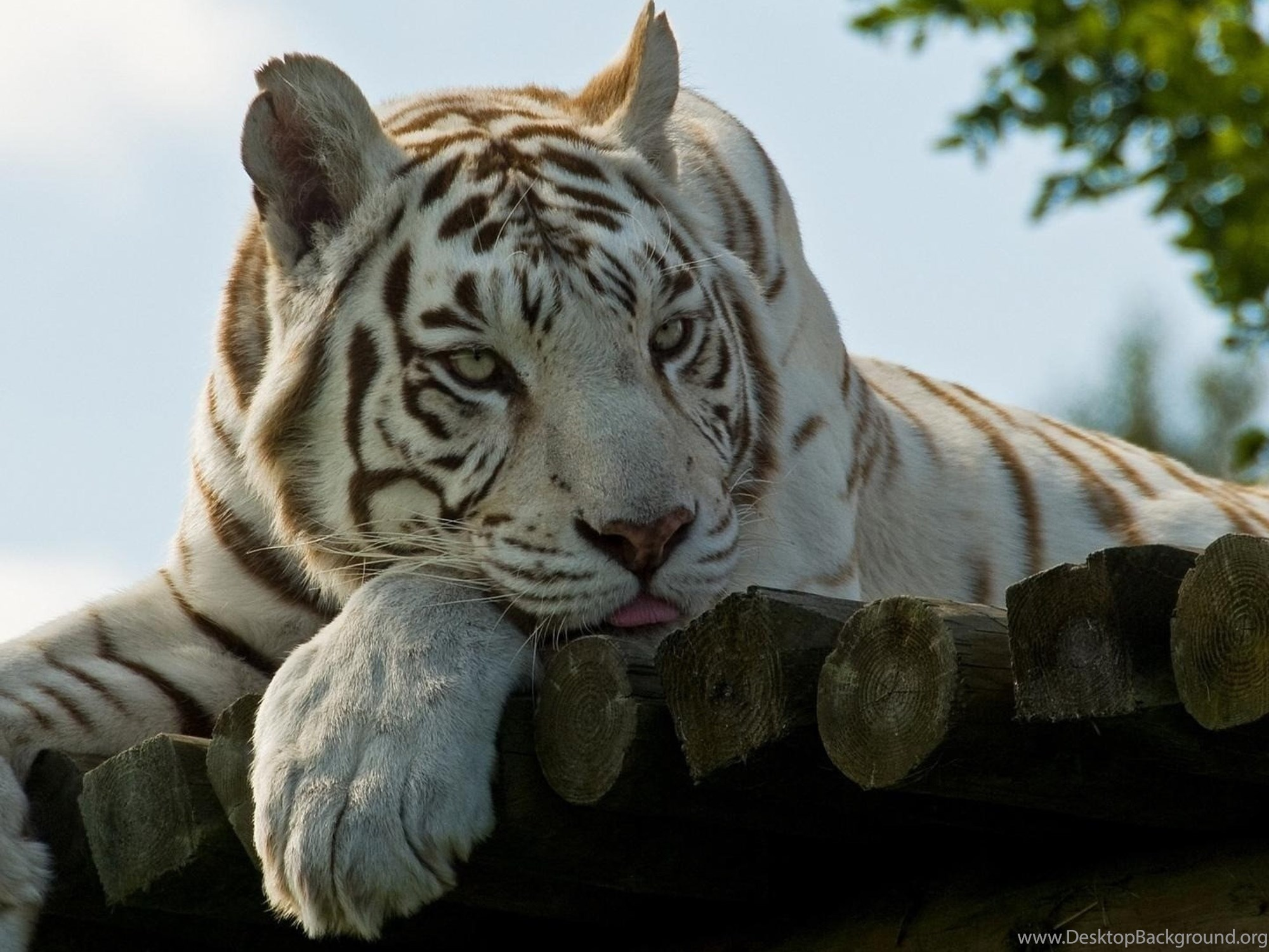4K Ultra HD White Tiger Wallpapers HD, Desktop Backgrounds ...
