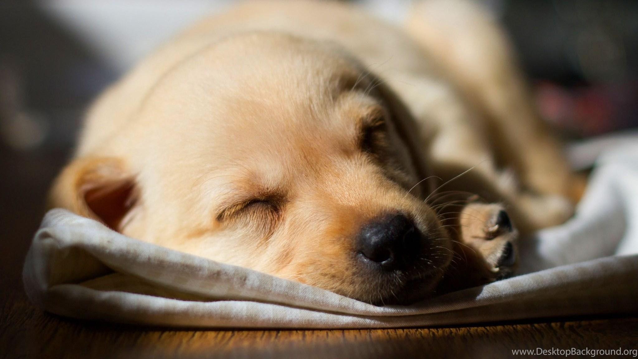 Labrador Sleeping Puppy Wallpaper HD Desktop Background