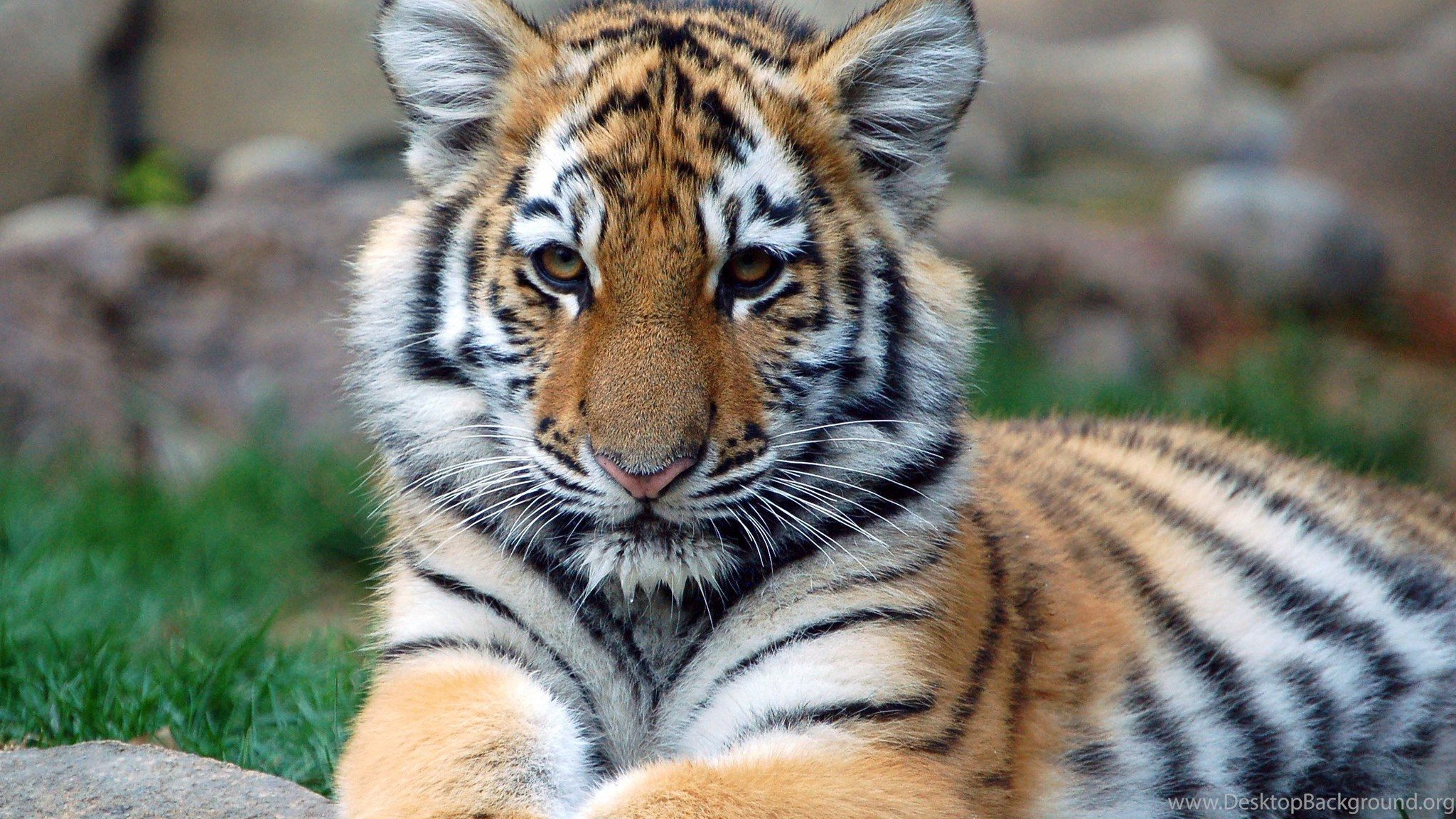 Bengal Tiger Wallpapers Cubs Desktop Background
