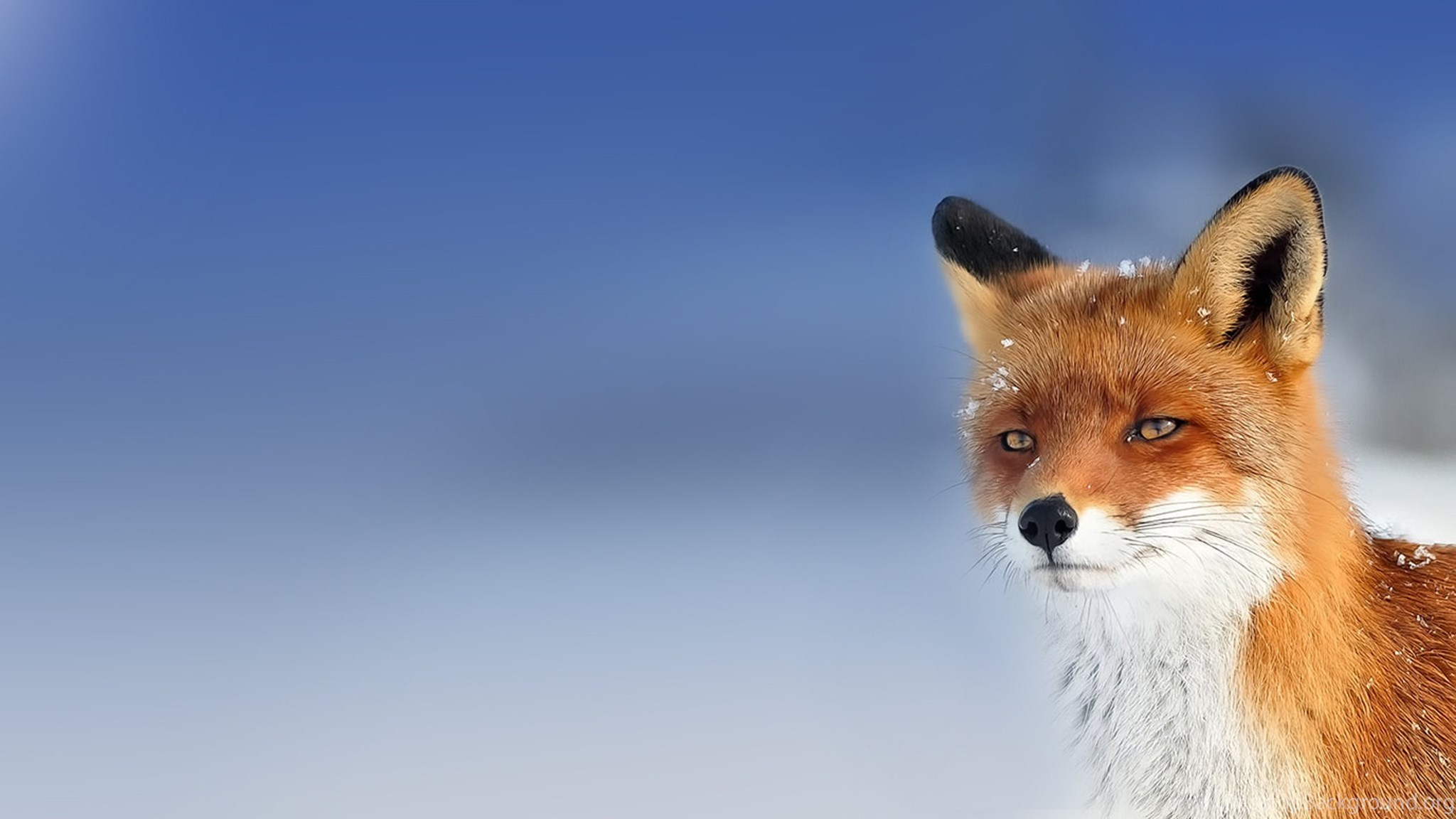 Hd beautiful wild fox wallpapers hd full size - Fox desktop background ...