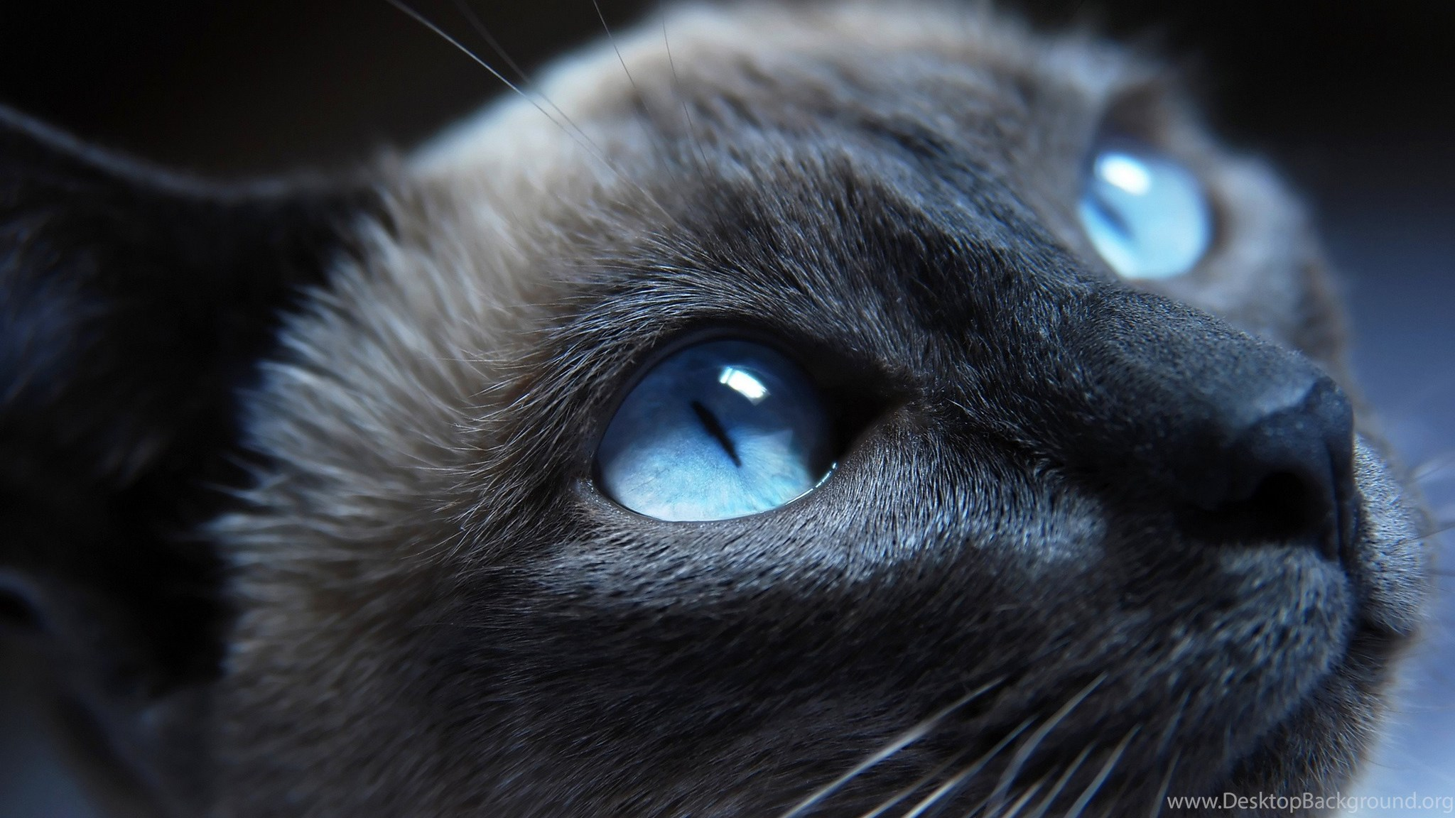 cat with blue eyes warrior cats forever wallpapers (30386523