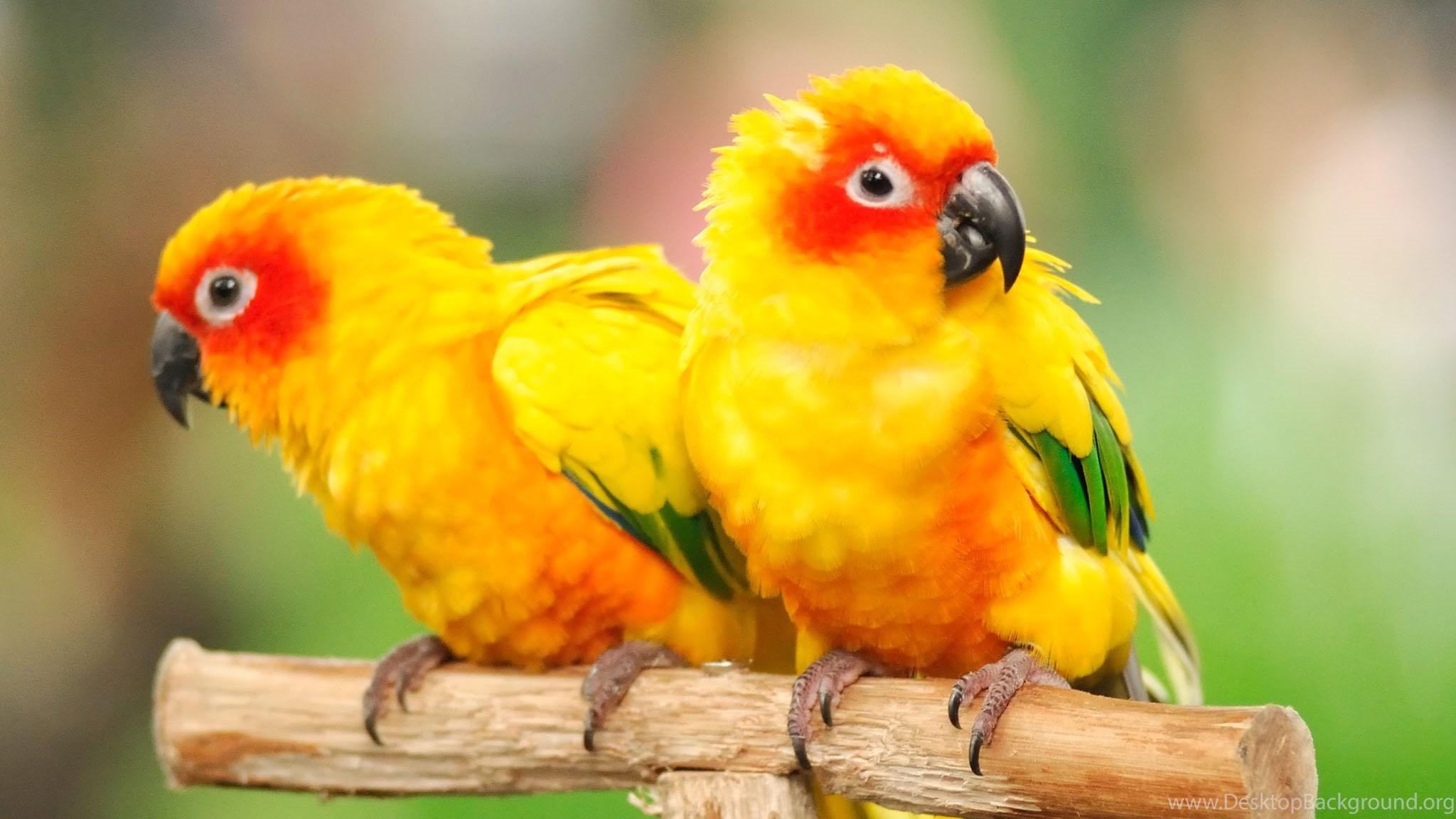 Cute parrots wallpapers