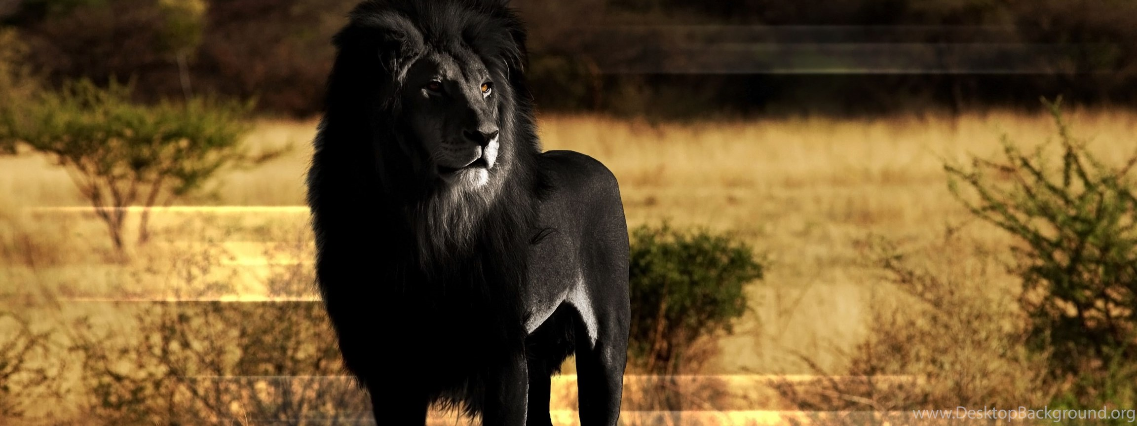 бесплатно красивые белые и черные львы фото жизни