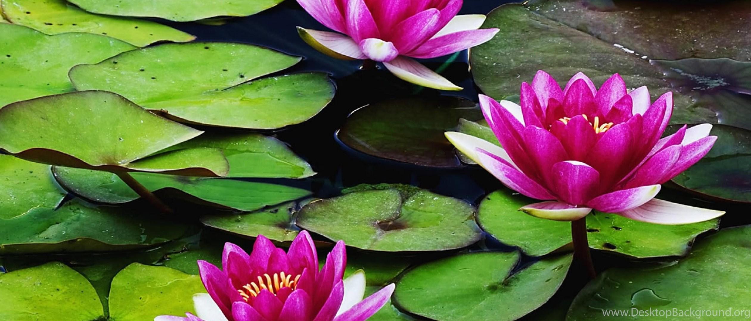 Water Lily Flower Wallpapers Hd Of Beautiful Lotus Flowers Desktop