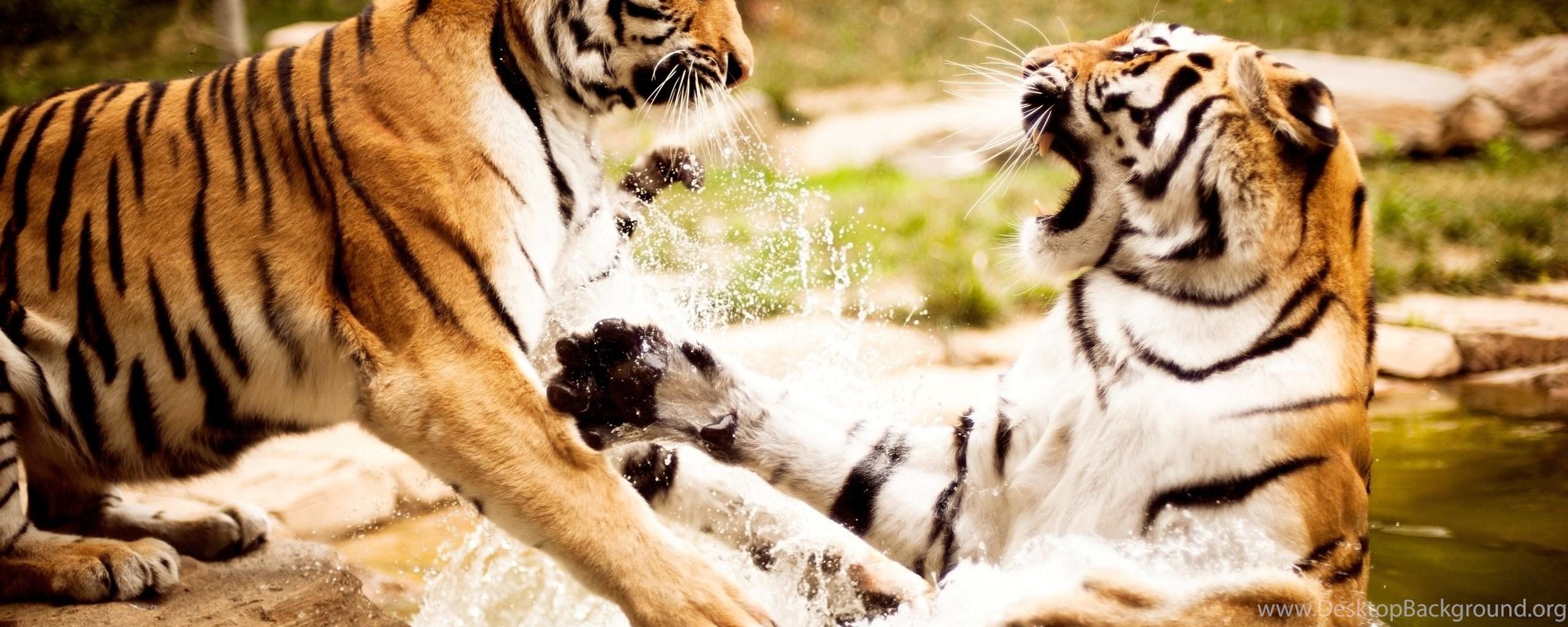 Tigers fighting wallpaper