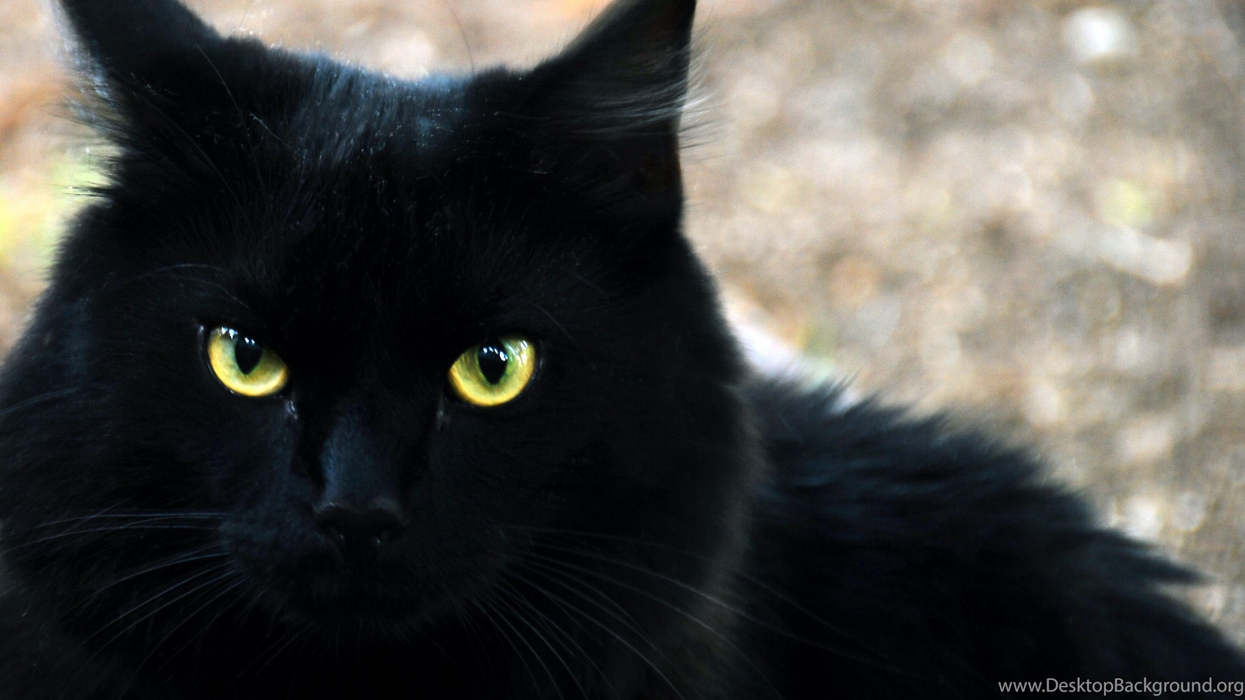 black cat hd wallpapers widescreen desktop background