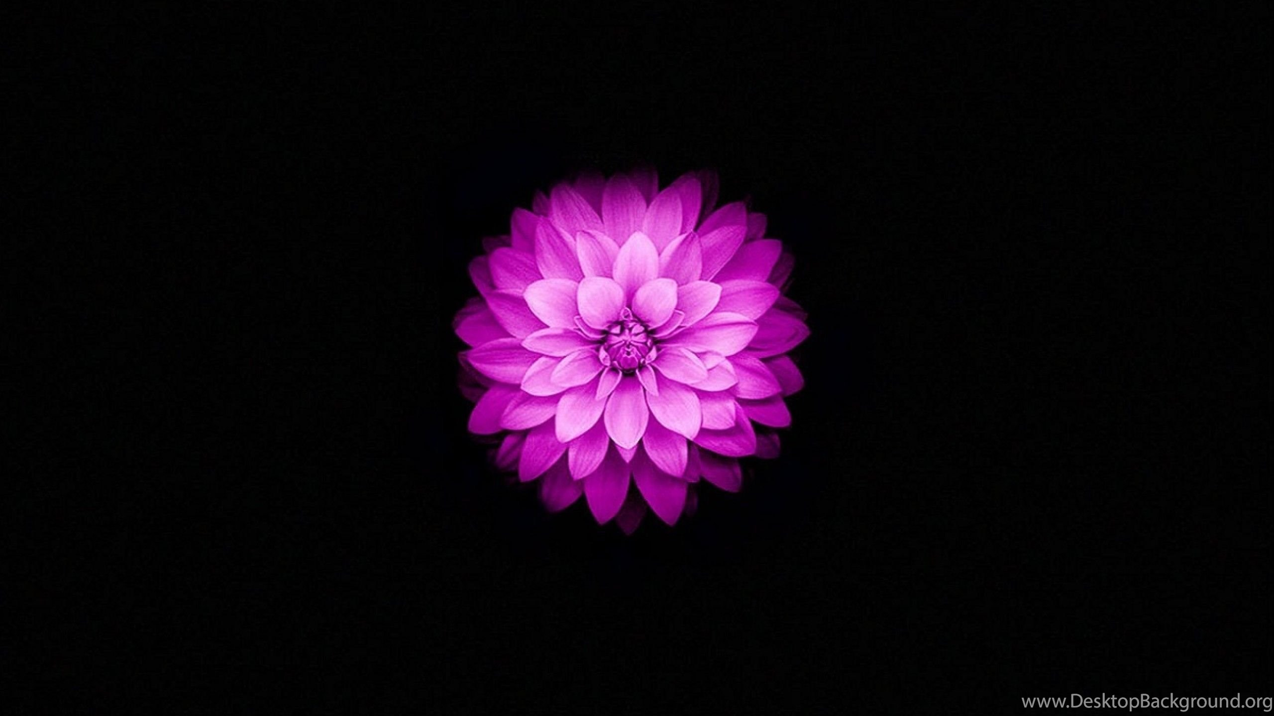 Purple Iphone 6 Wallpaper 14276 Wallpaper: Apple IPhone 6 And IPhone 6s Wallpapers With Purple Lotus